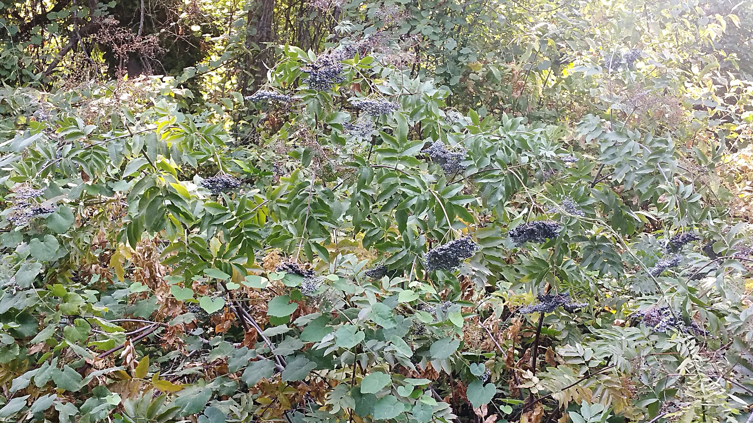 Elderberries want to grow in a tangled jungle; here, you can see them growing interbraided with wild grape