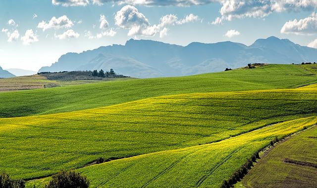 field-of-canola.jpg