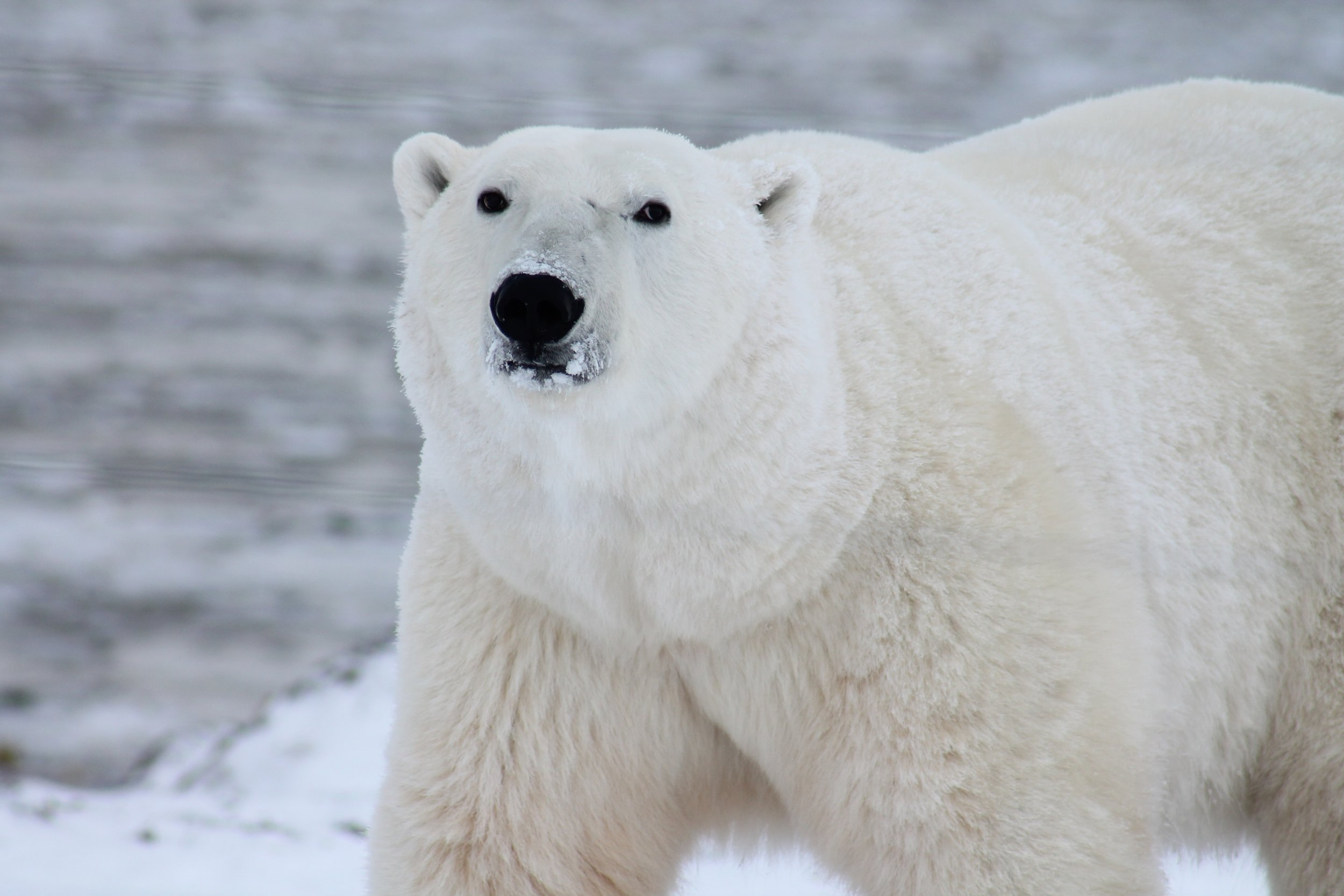 animal-polar-bear-predator-53425.jpg