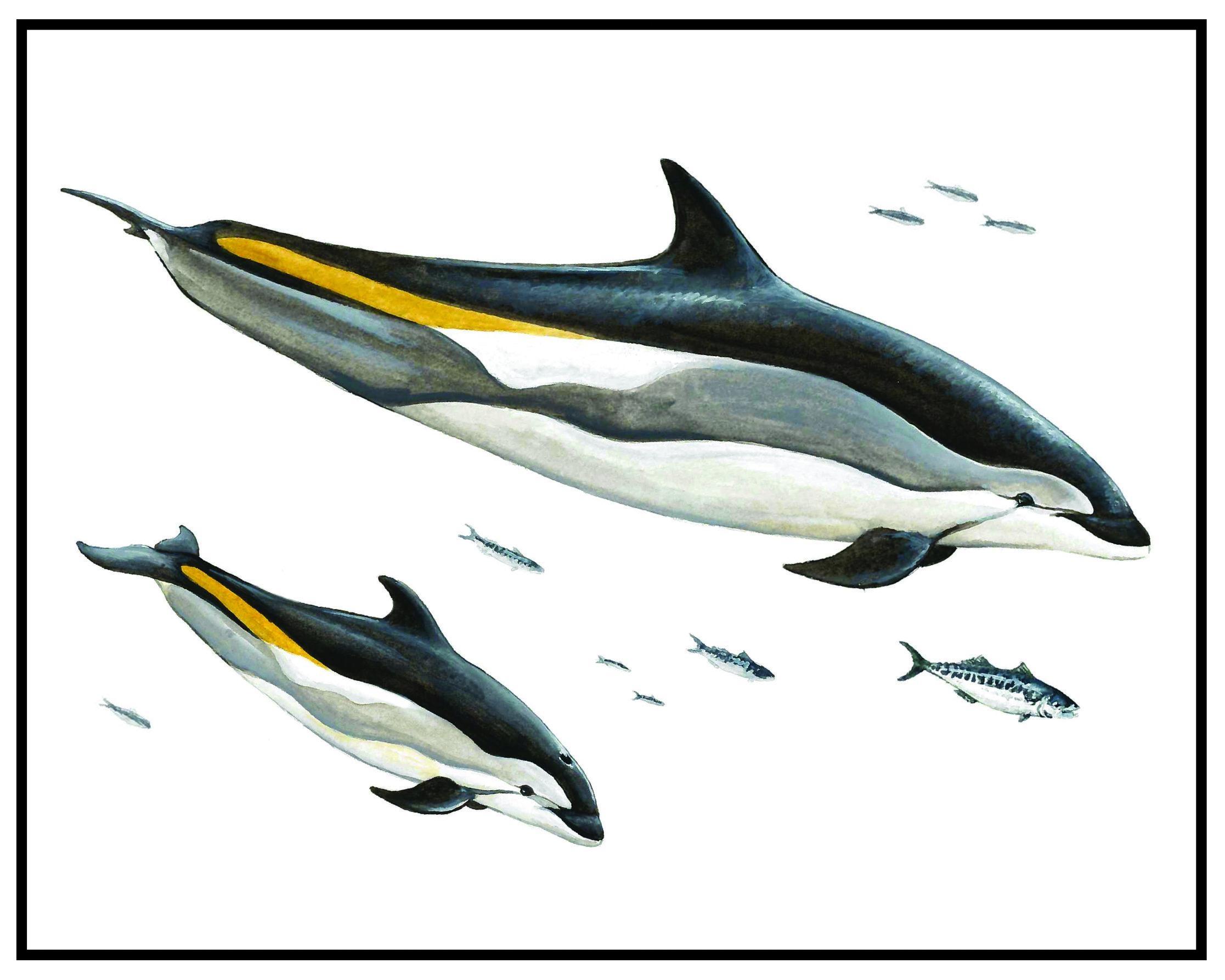Gulf of Maine Prints_Dolphin5x7-01.jpg