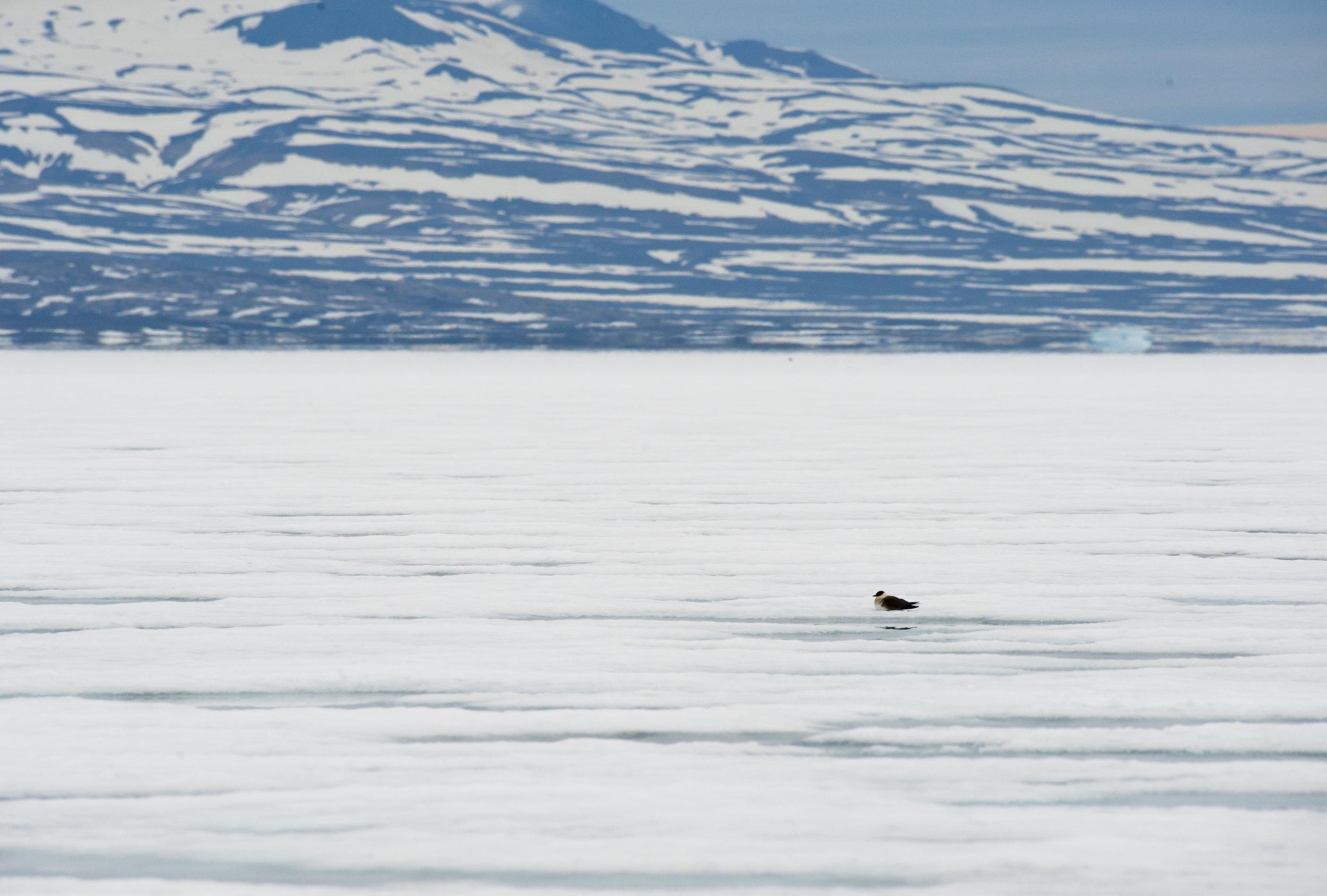 Parasitic Jaeger (Arctic Skua) —Scoresby Sund