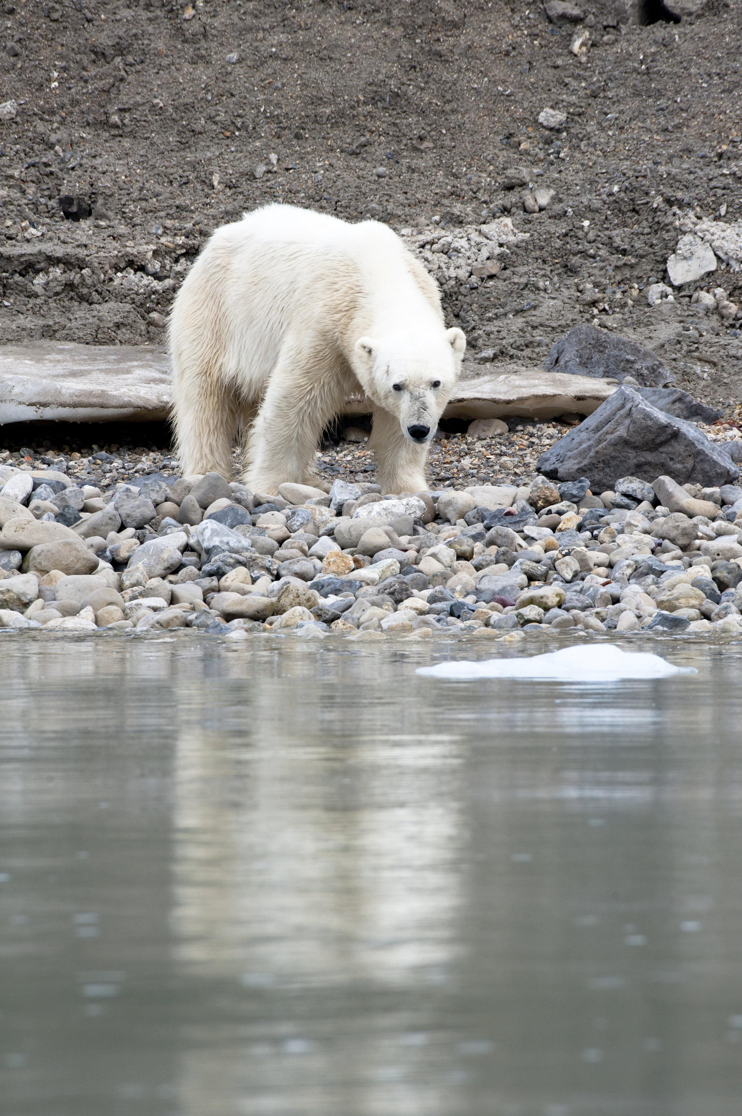 Polar Bear —Palanderbukta, Svalbard