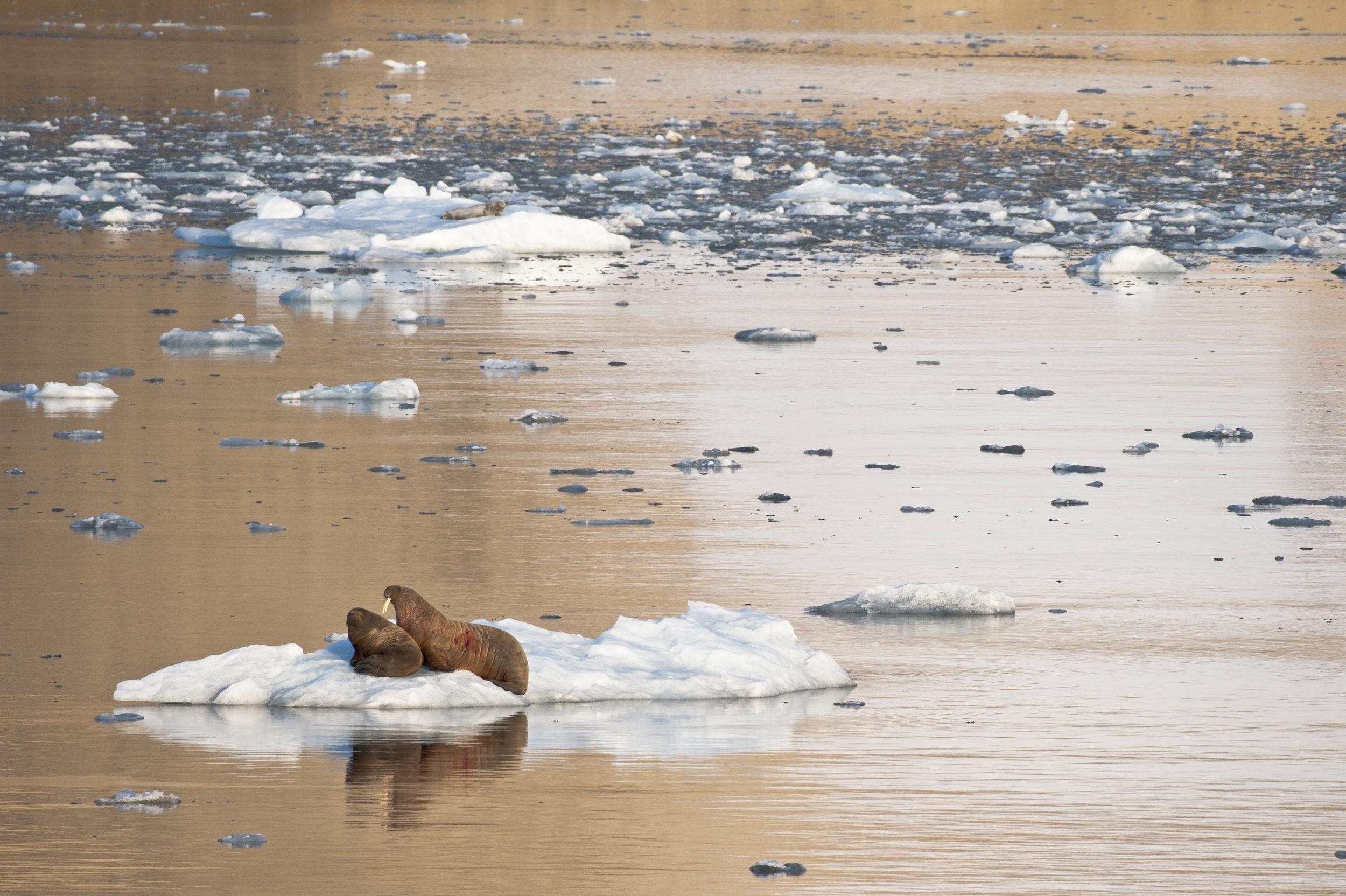 Walrus Cow & Calf —Palanderbukta