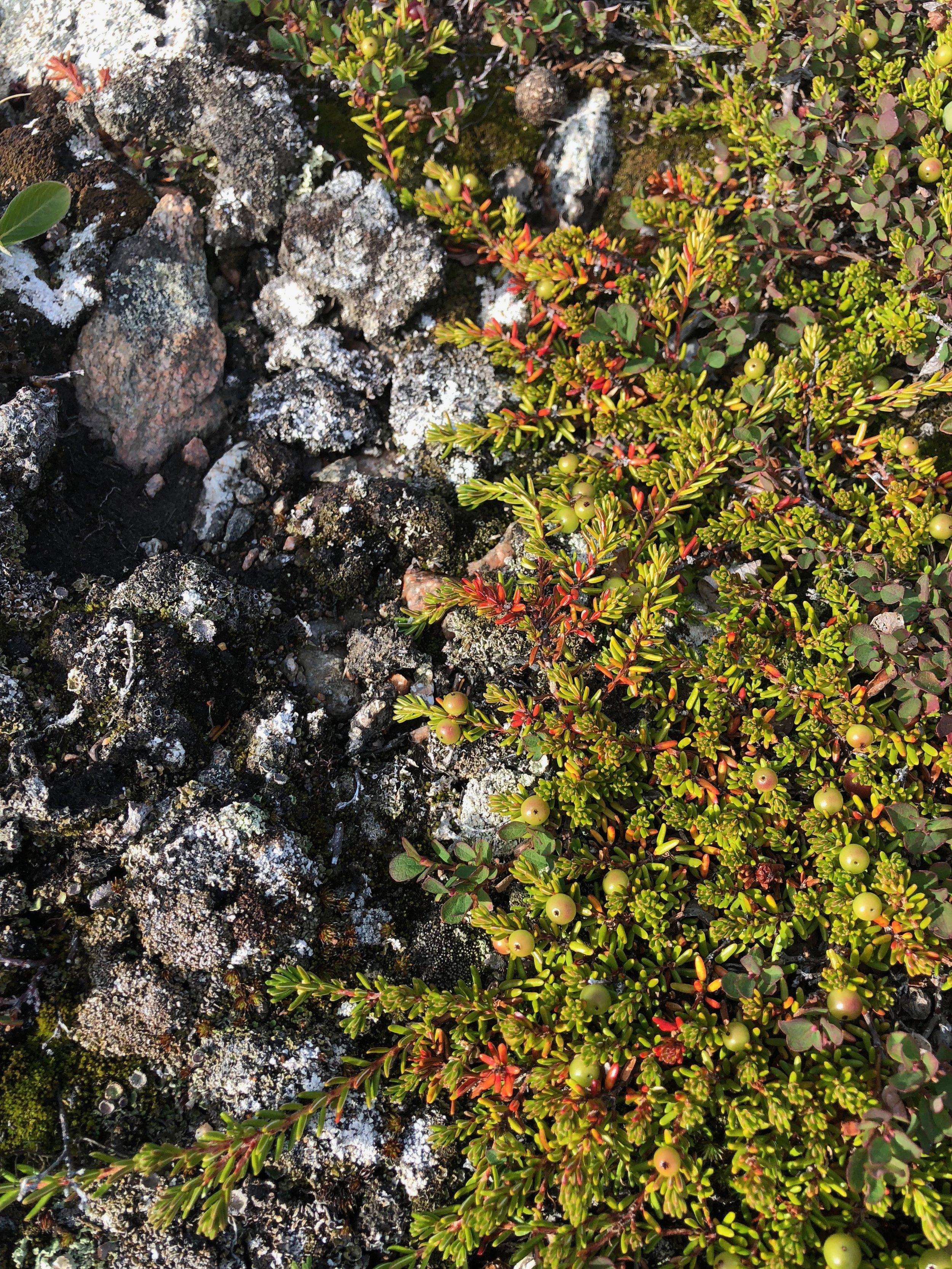 Crowberry, Lichen and Rocks