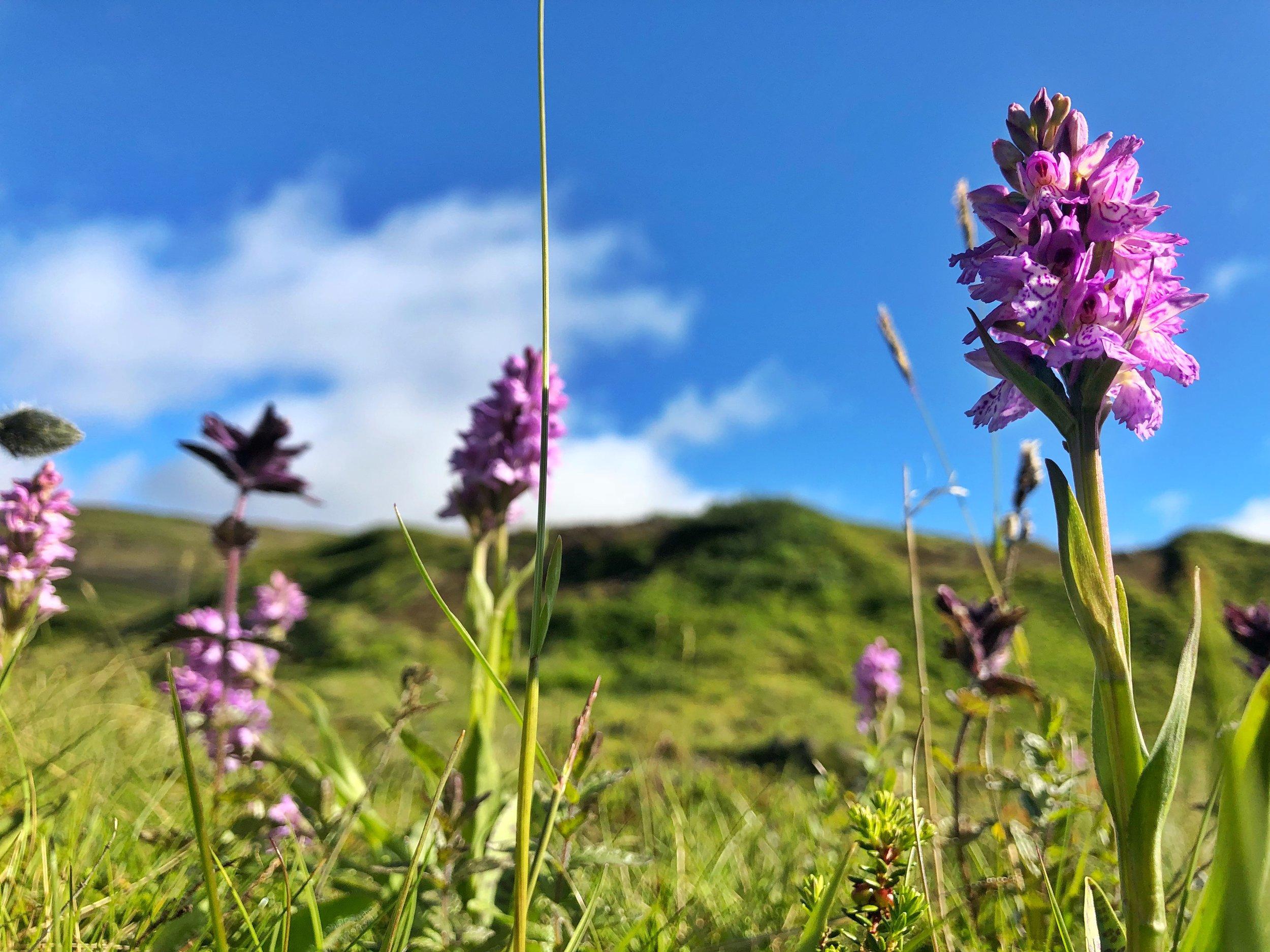 Heath-Spotted Orchid —Hornstrandir, Iceland