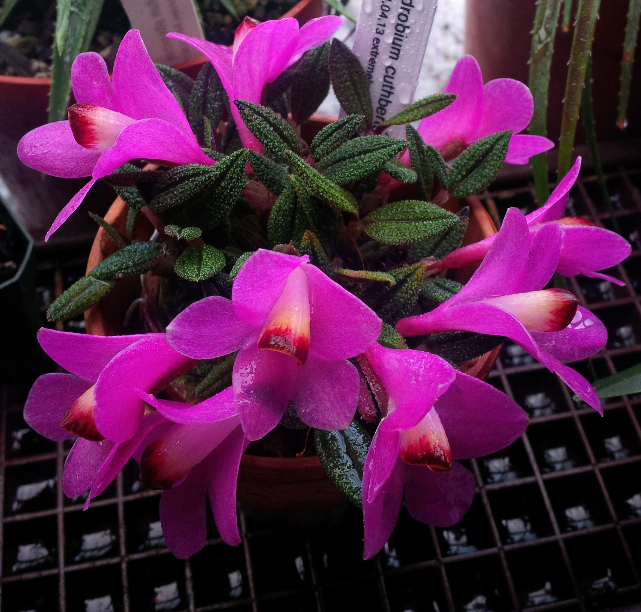 Dendrobium cuthbertsonii,  purple form, potted windowsill cultivation