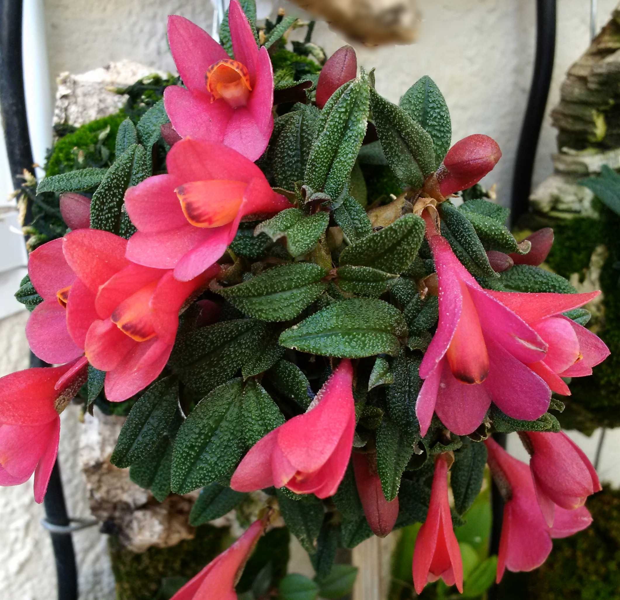Dendrobium cuthbertsonii , hot pink form, outdoors cultivation