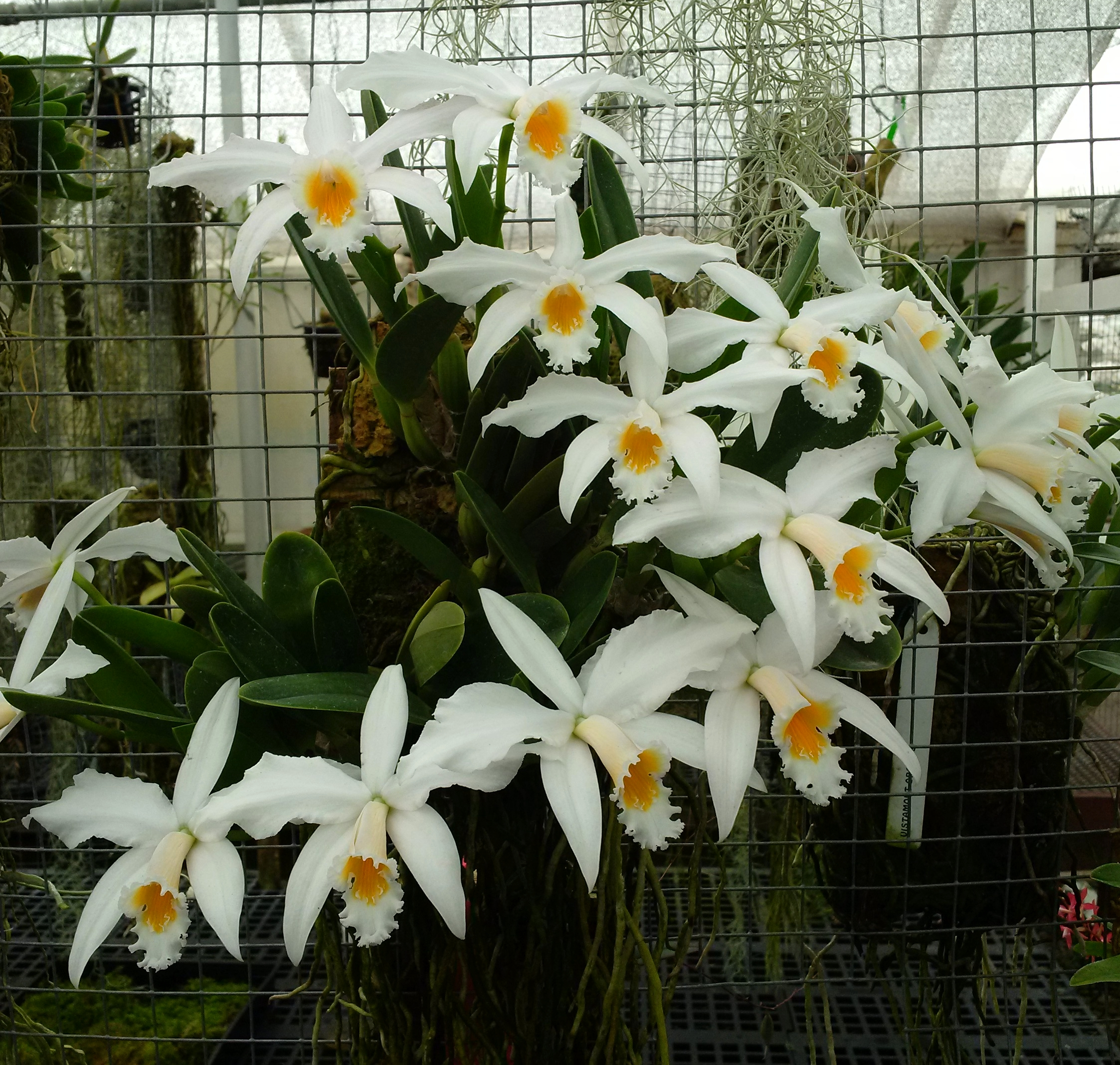 An impossibly well-flowered  Cattleya (Laelia) jongheana f. alba,  grower Cynthia Hill