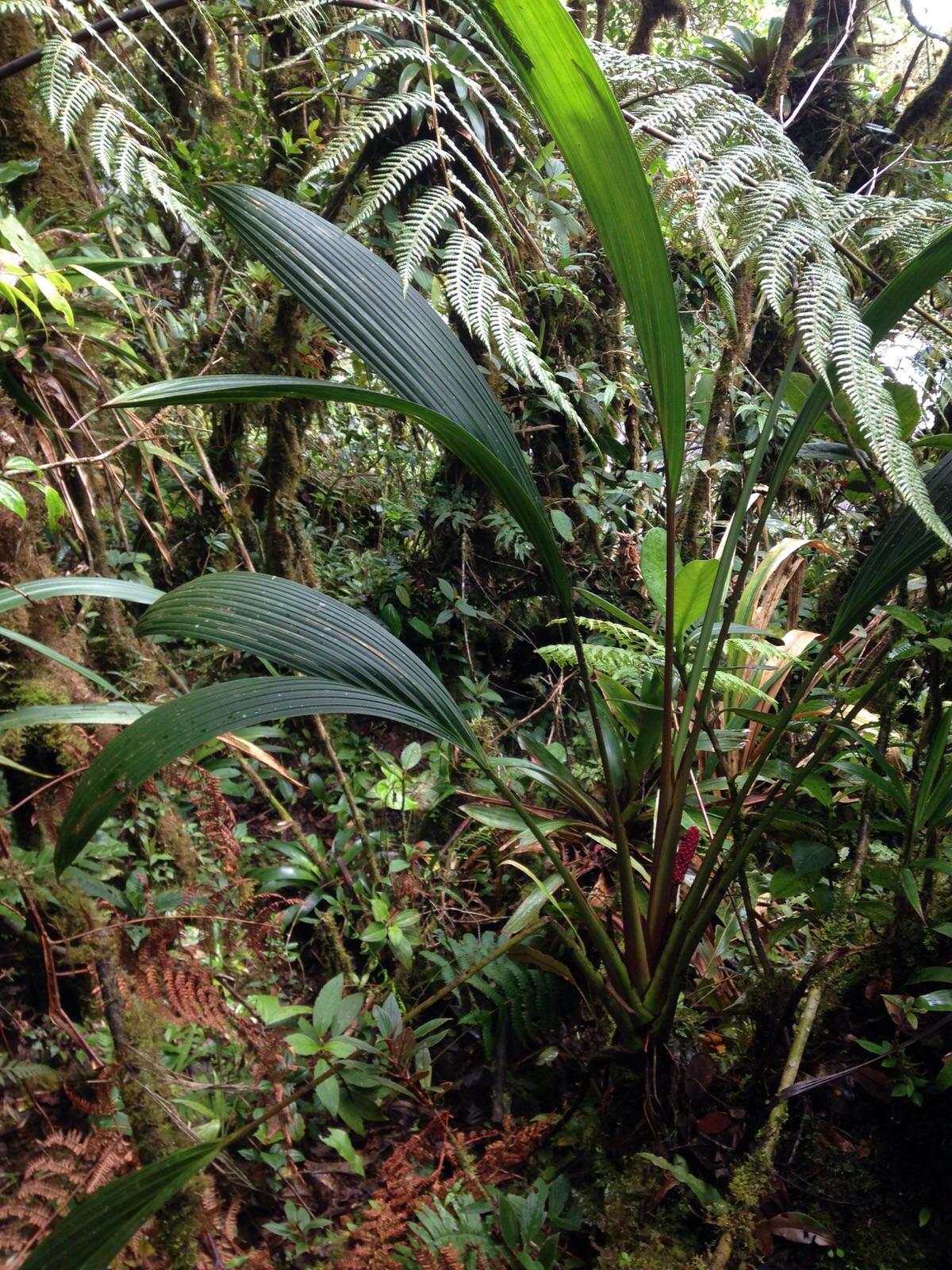 Sphaeradenia praetermissa , Veraguas, Panamá (Image: F. Muller)