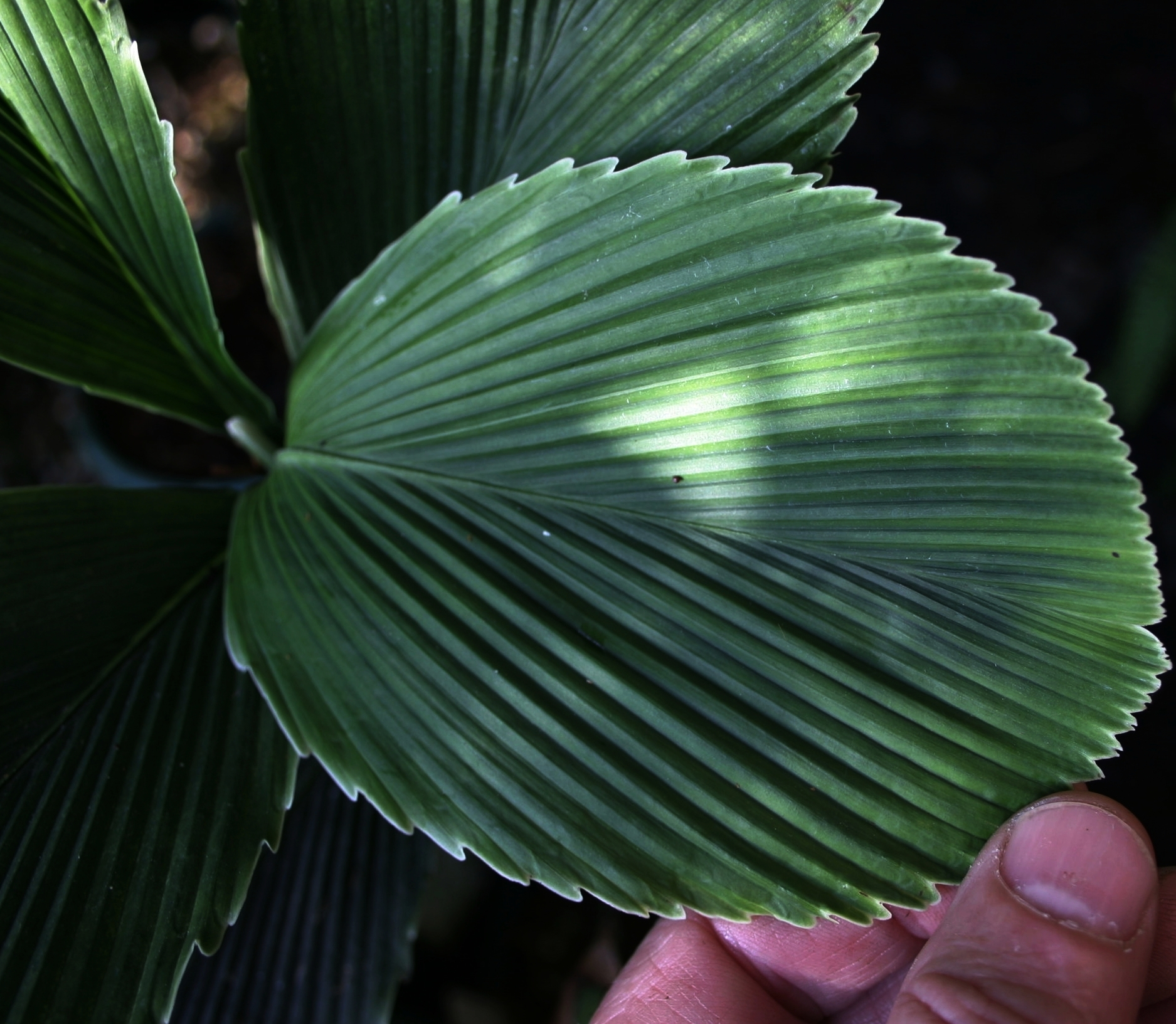 "Chamaedorea tuerckheimii,  F1 ""blue form"" leaf detail of the potato chip palm, Alta Verapaz, Guatemala."