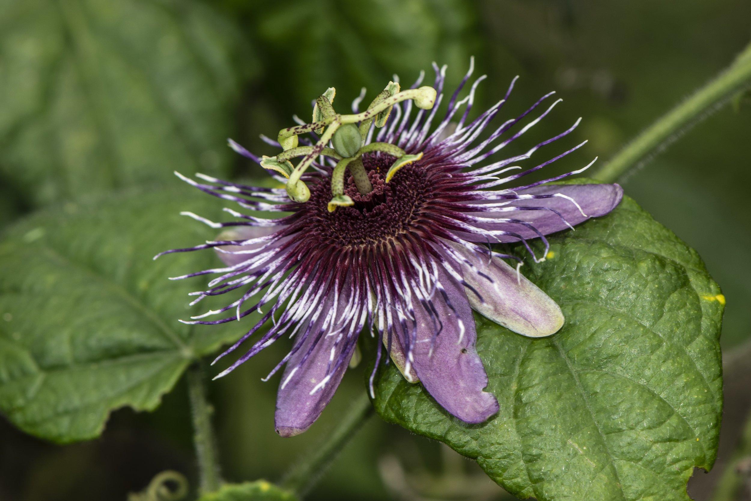 Passiflora danieli