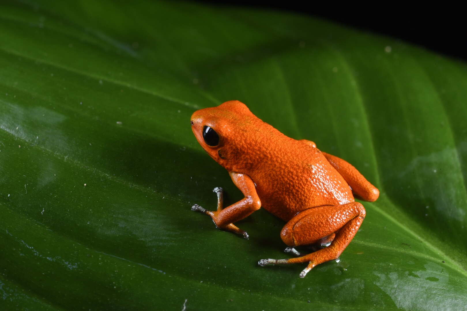 Oophaga pumilio Orange Basti.JPG