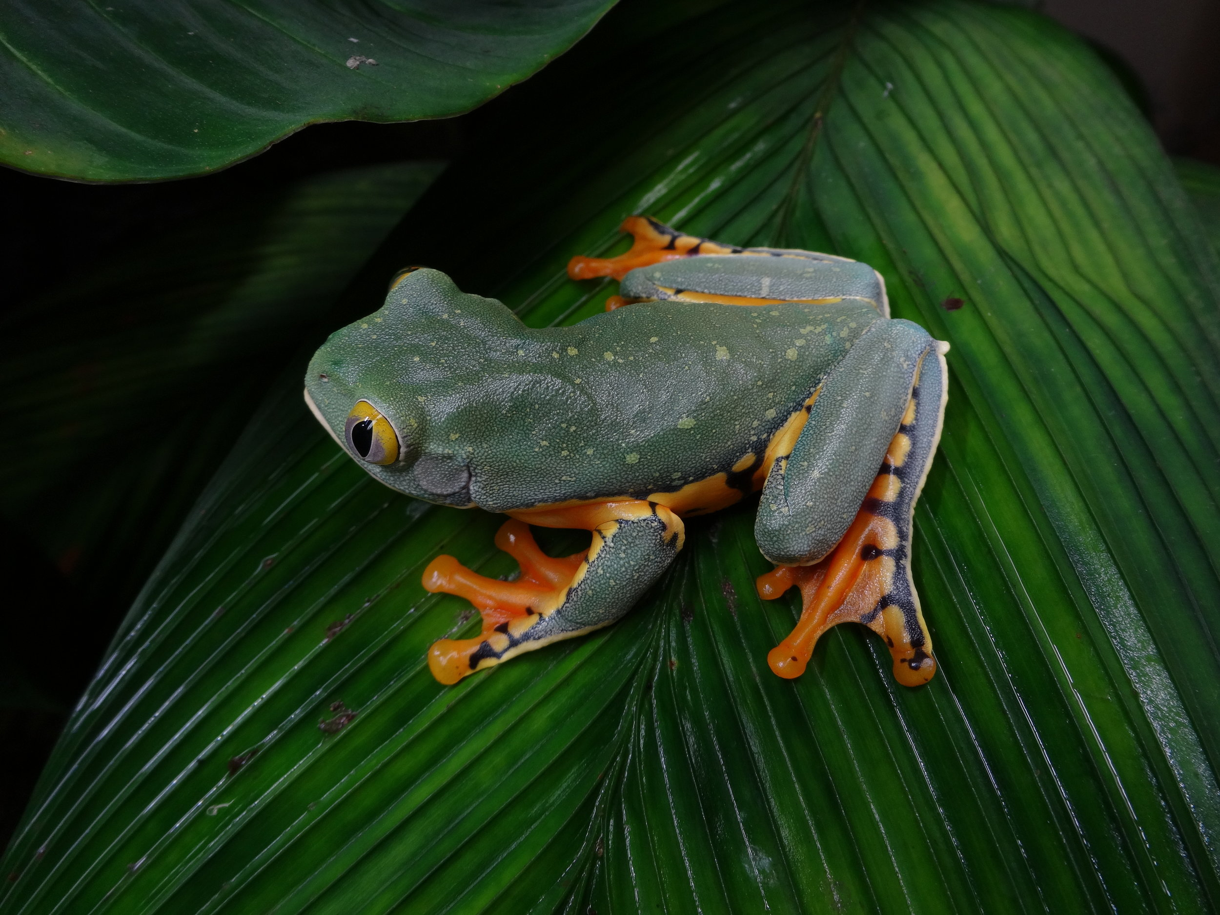 A captive adult male Costa Rican splendid leaf frog,  Cruziohyla sylviae , on a mature frond of a vivarium-grown stained glass palm,  Geonoma epetiolata