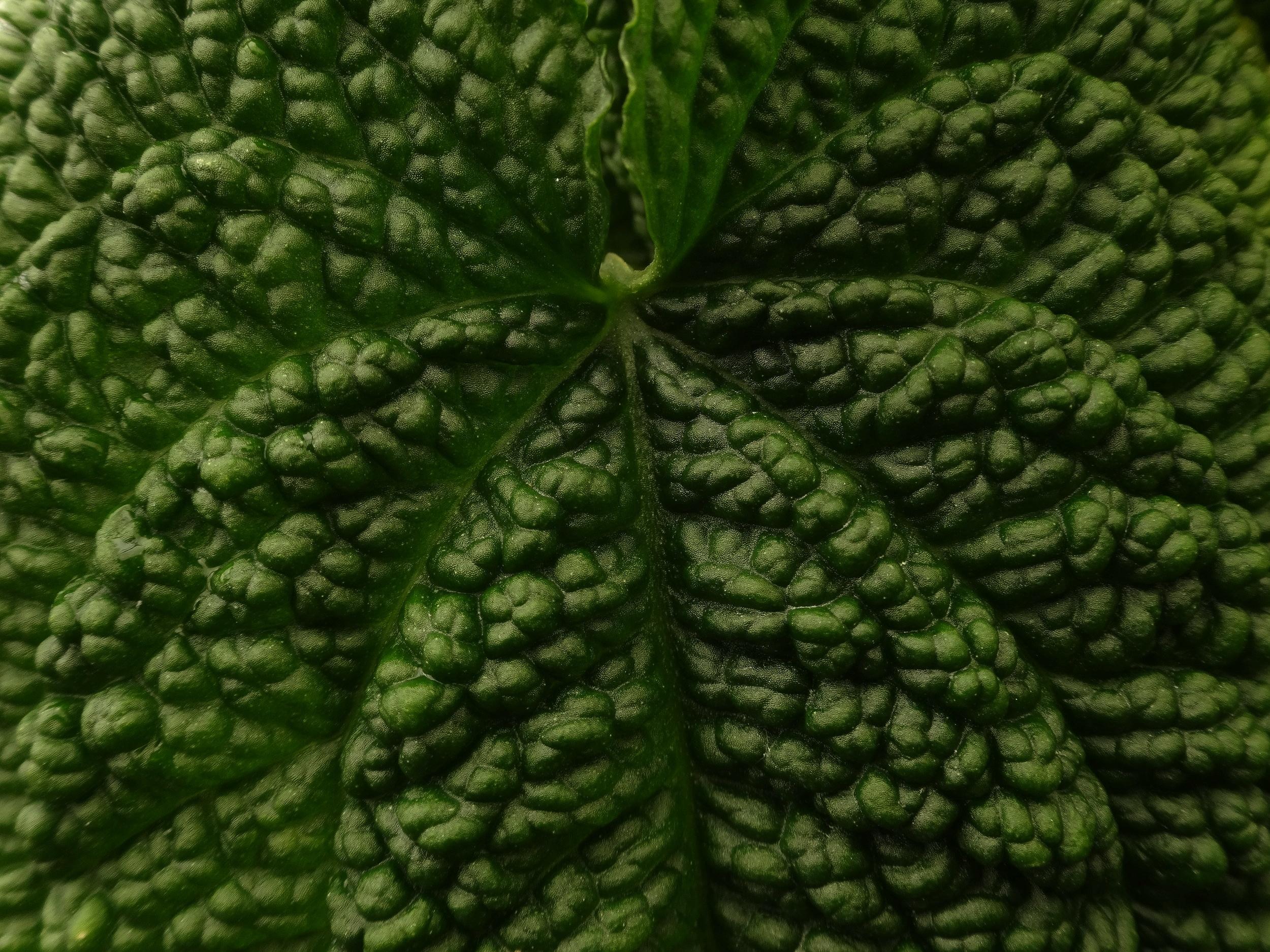 Anthurium clidemioides  ssp. clidemioides
