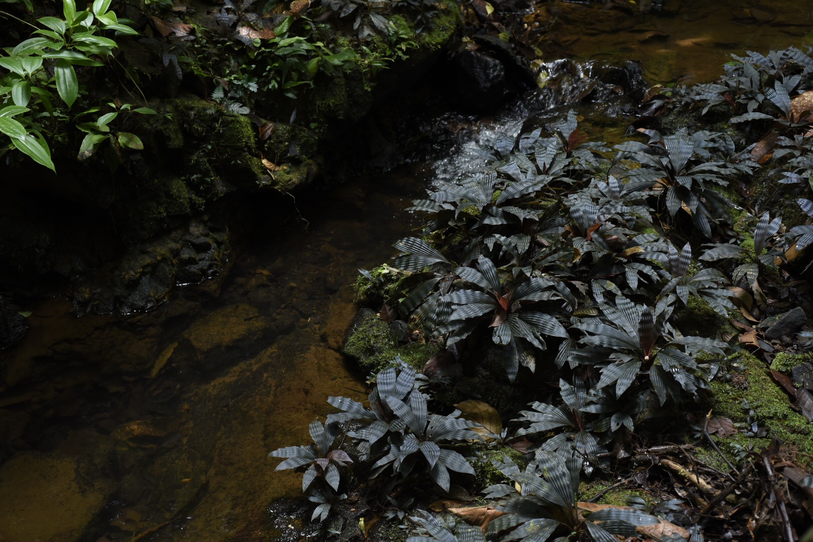 "Dicranopygium sp.  ""Dwarf Violet"", shown alongside running rainforest creek (Image: F. Muller)"