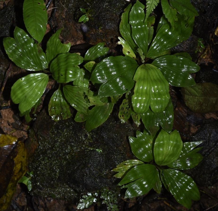 Dicranopygium round mini.JPG