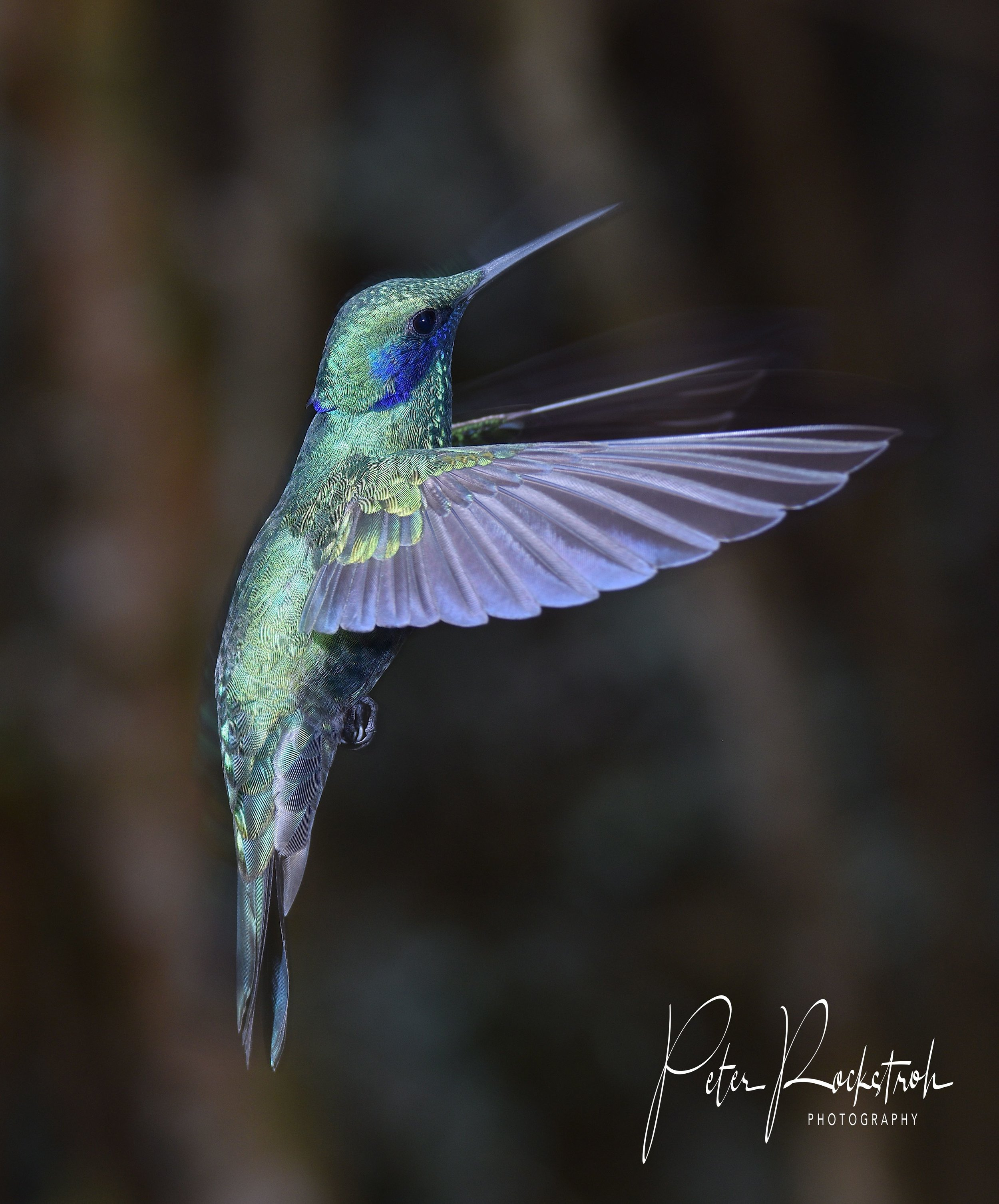 Male sparkling violet ear,  Colibri coruscans,  showing lots of nice details and color
