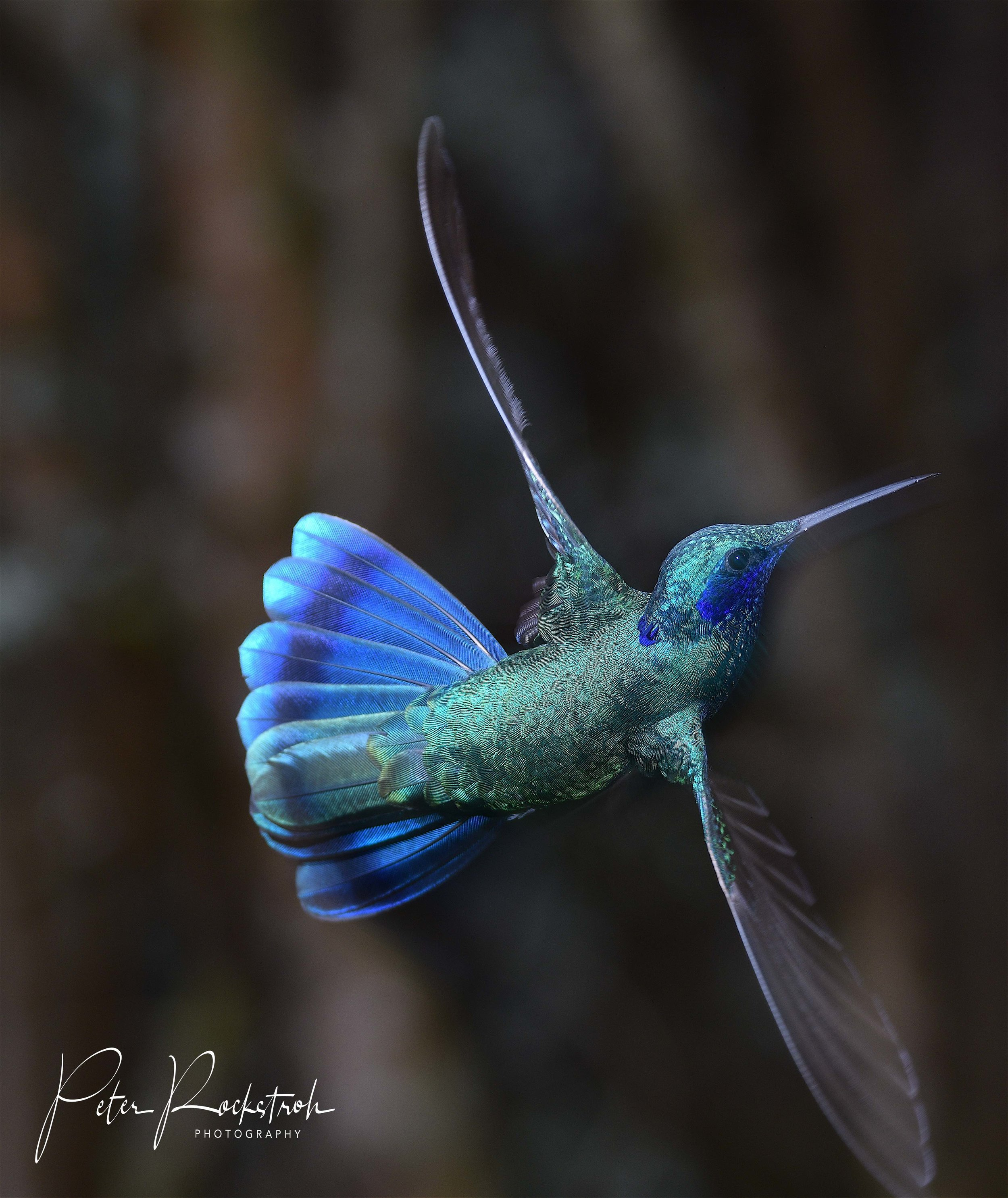 Male sparkling violet ear,  Colibri coruscans , a hyperactive little blue fellow just cruisin' through the wide world