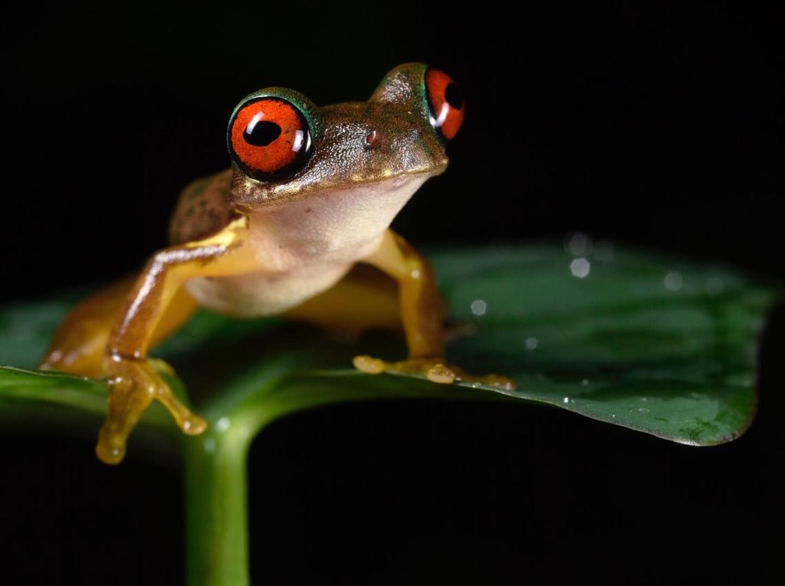 Rufous-eyed brook frog,  Duellmanohyla rufioculis , San José Province, Costa Rica (Image: F. Muller)
