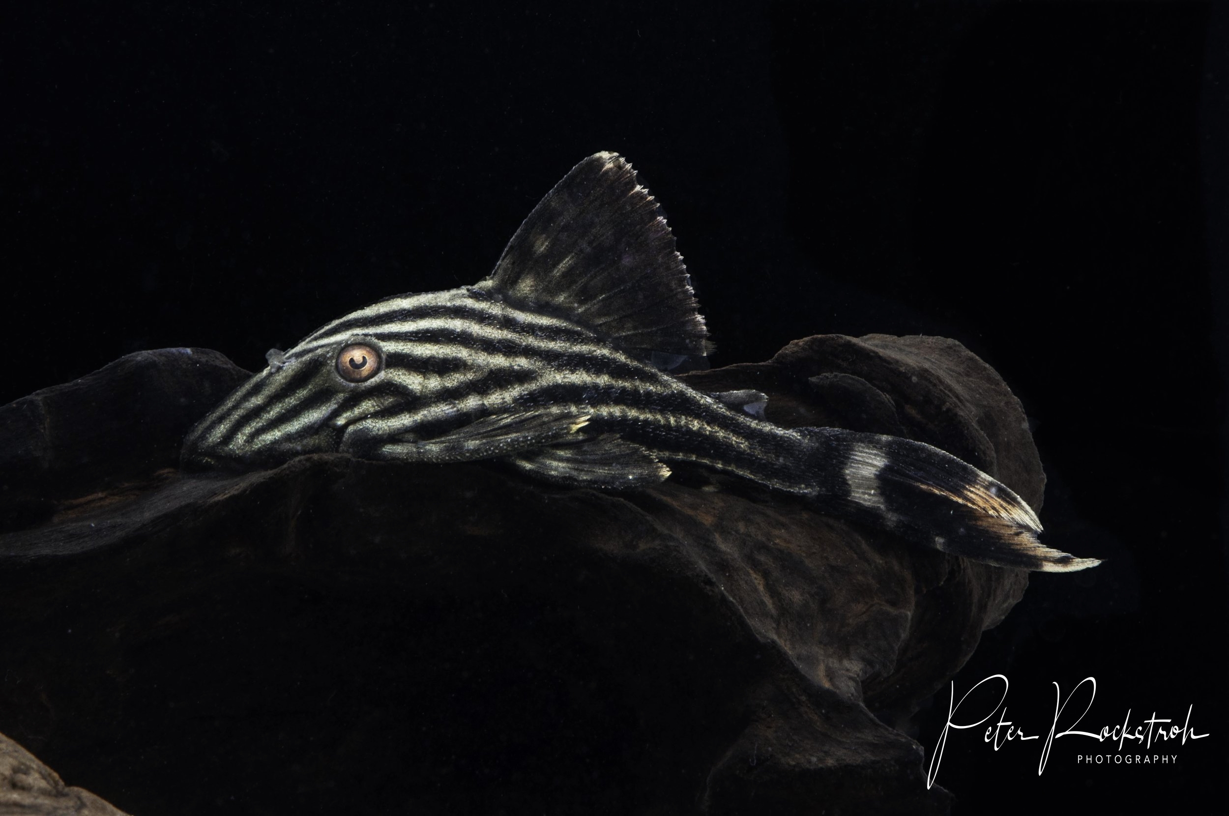 Striped suckermouth armored catfish,  Panaque fino
