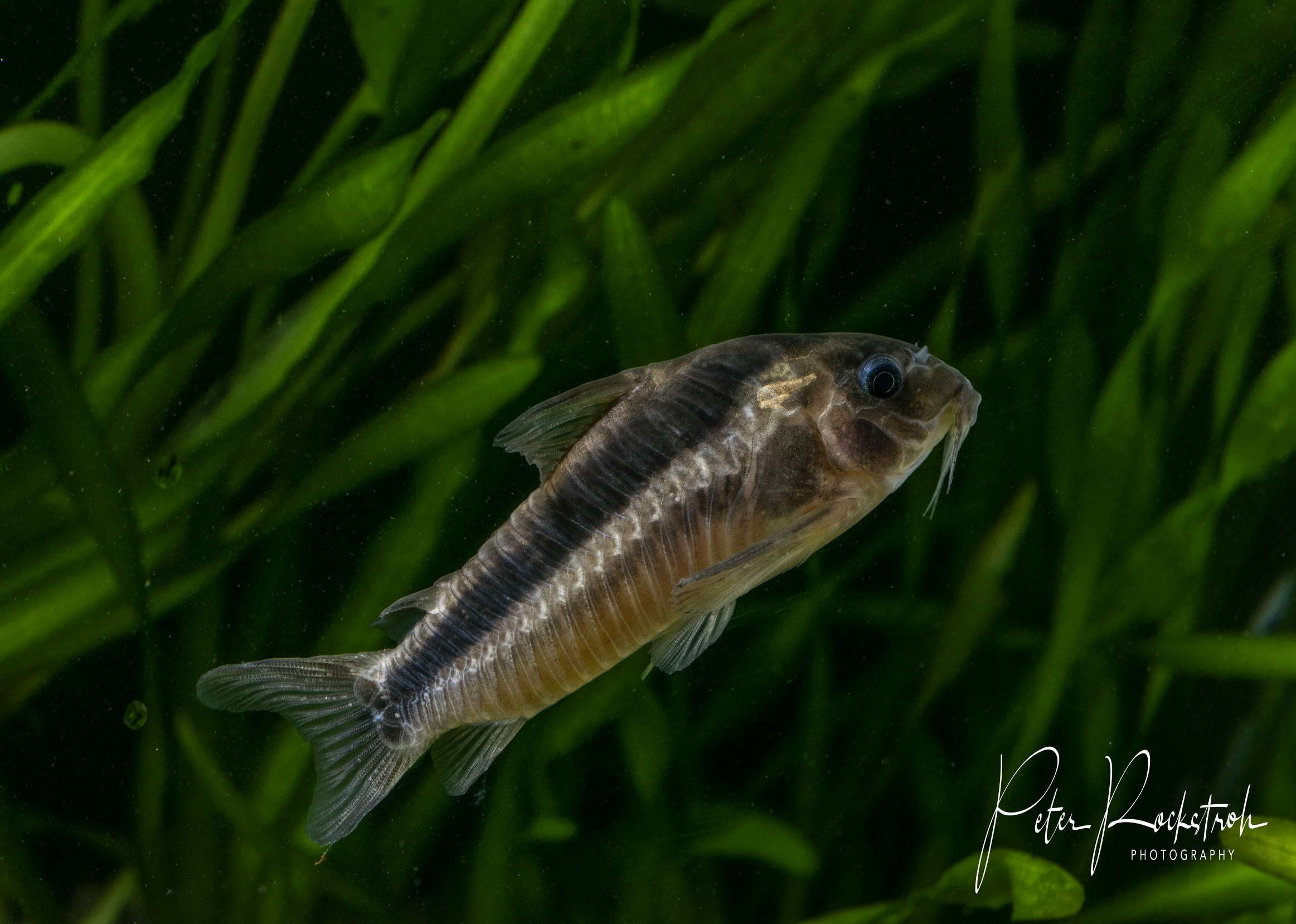The well-known Rusty Cory catfish,  Corydoras rabauti