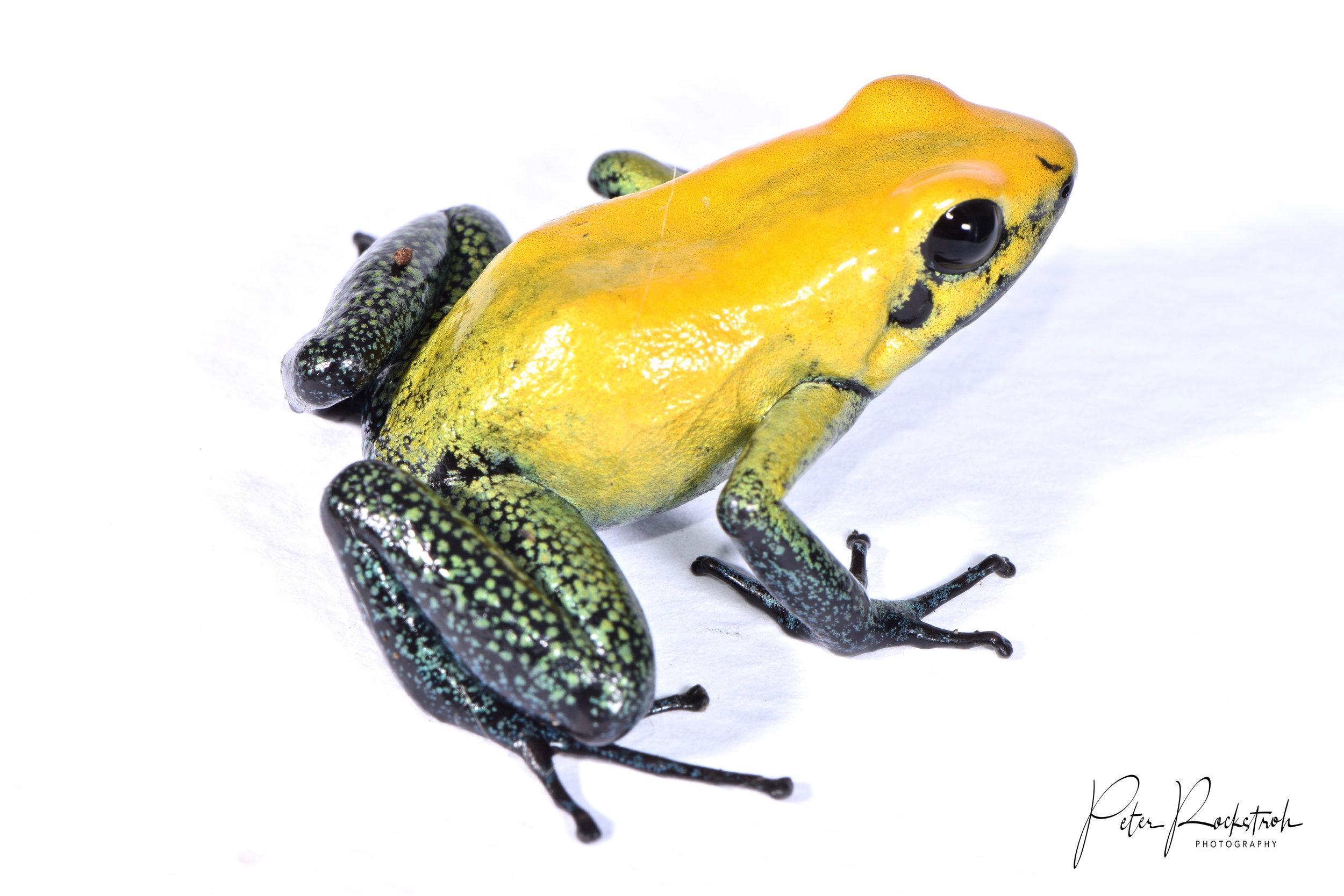 Phyllobates bicolor , yellow morph