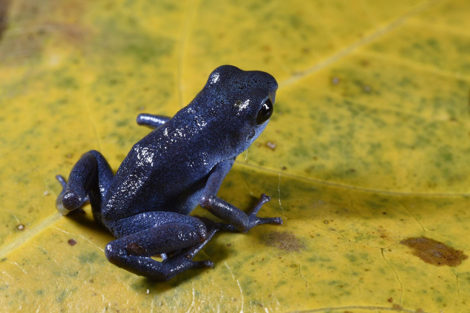Oophaga pumilio , all blue morph, Bocas del Toro Panamá (Image: F. Muller).