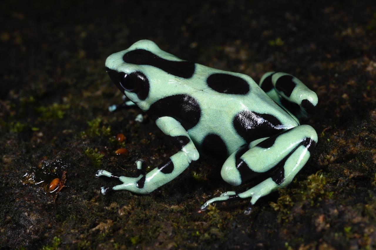 Dendrobates auratus , Santa Fé, Veraguas, Panamá (Image: F. Muller).