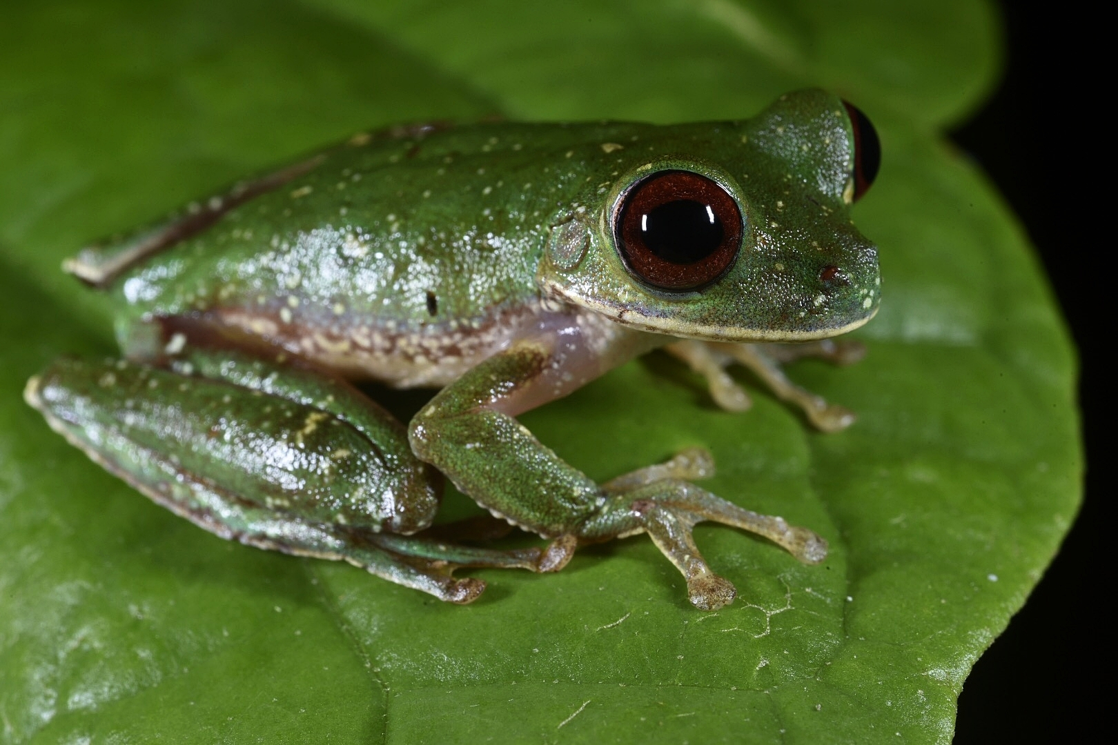 Unidentified brook frog,  Duellmanohyla sp.   nov . (?), undisclosed locality in northern Guatemala (Image: F. Muller)