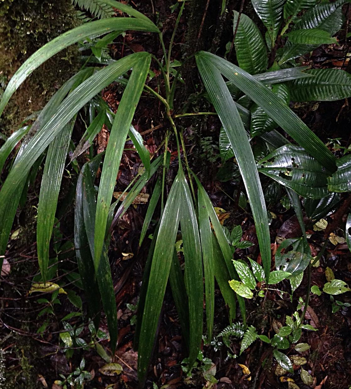 Dicranopygium cf. tatica,  Chiriquí, Panamá (Image: F. Muller)