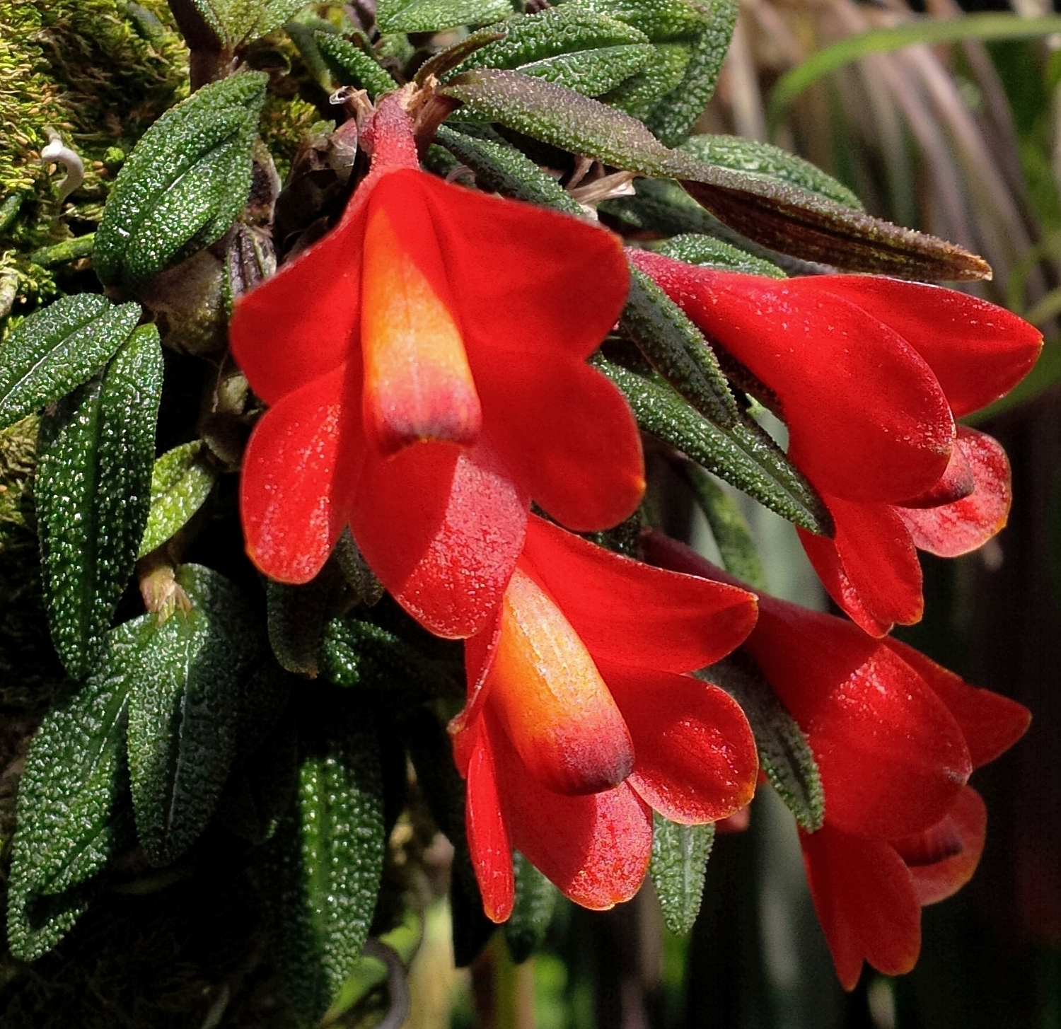 Dendrobium cuthbertsonii -  improved red form