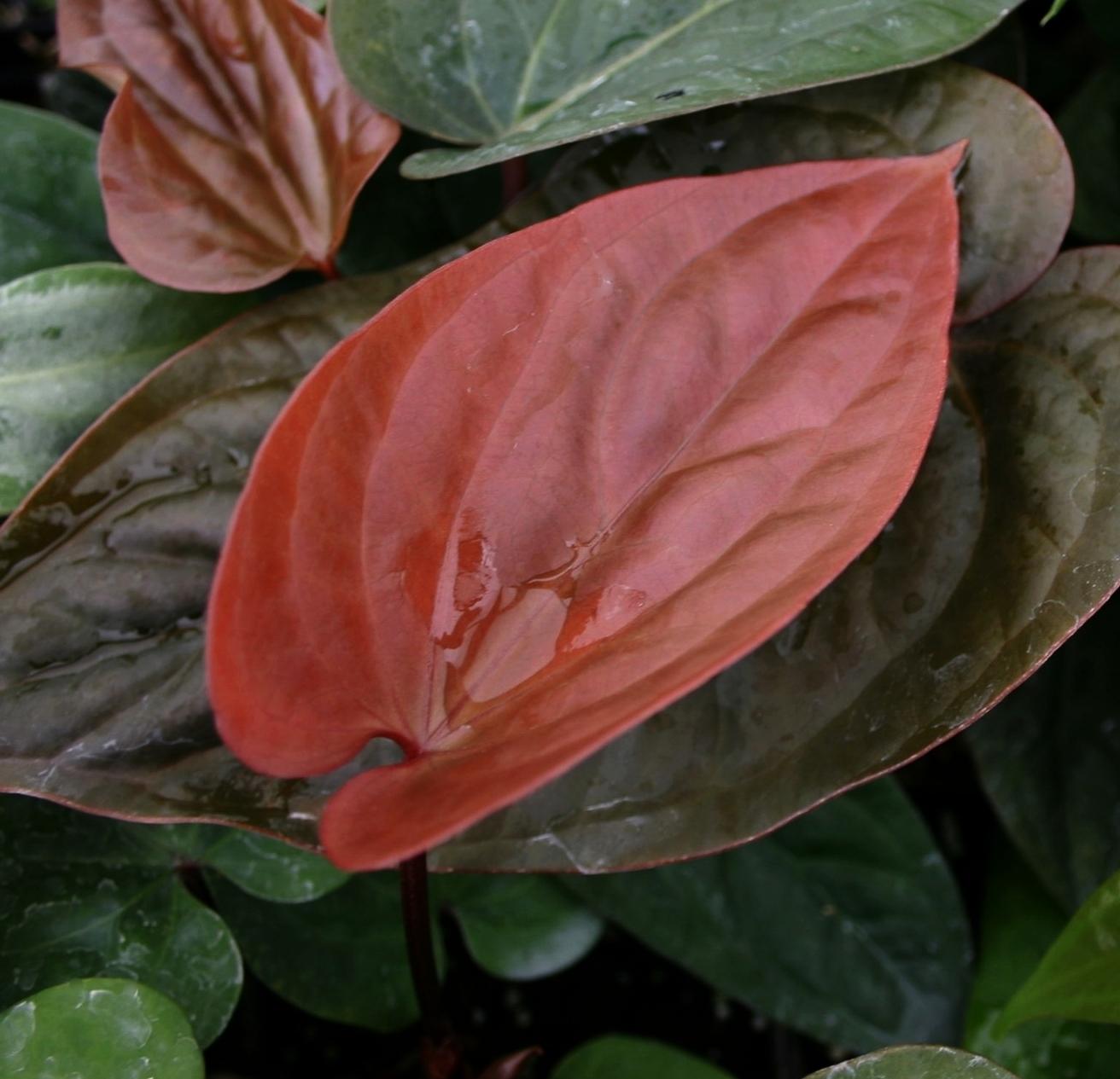 Anthurium radicans  x  dressleri