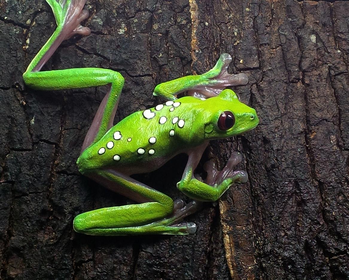 Captive Ecuadoran gliding leaf frog ( Agalychnis spurrelli )