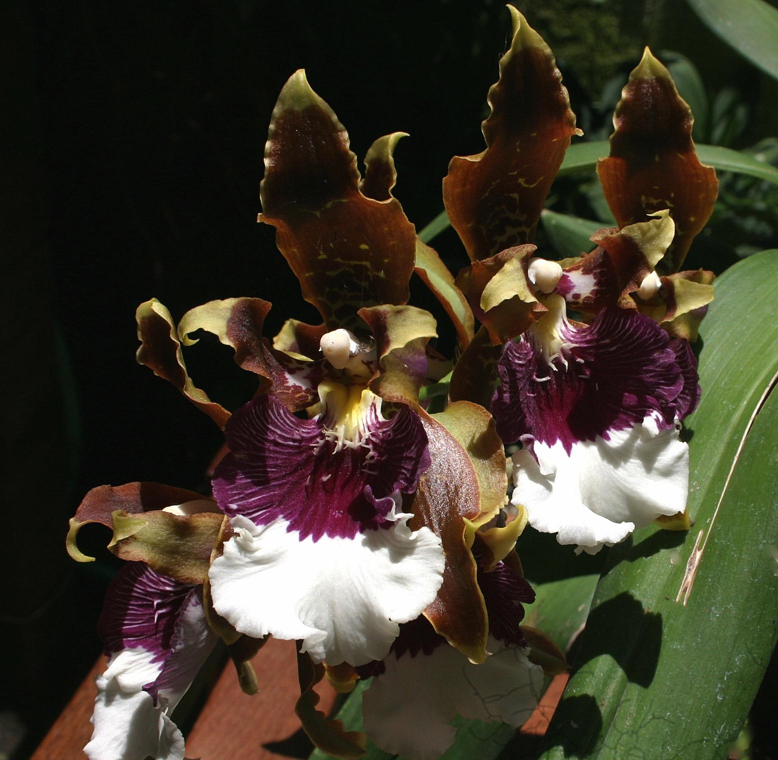 Odontoglossum (Oncidium) harryanum  August 2007