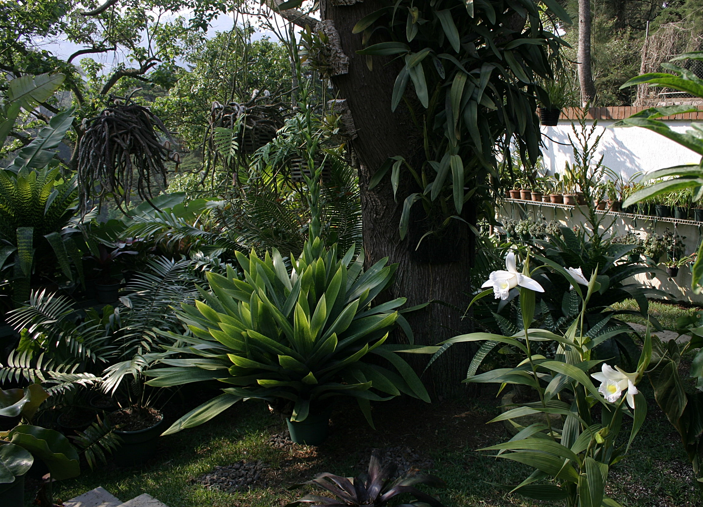Rear garden starting to fill up. Note simultaneously flowering giant tank bromeliads,  Vriesea hieroglyphica  and  V. gigantea  - May 2008