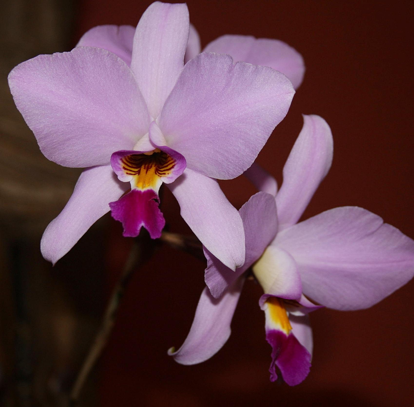 "Laelia mottae , superb flower form of Guatemalan  L.  "" anceps"""