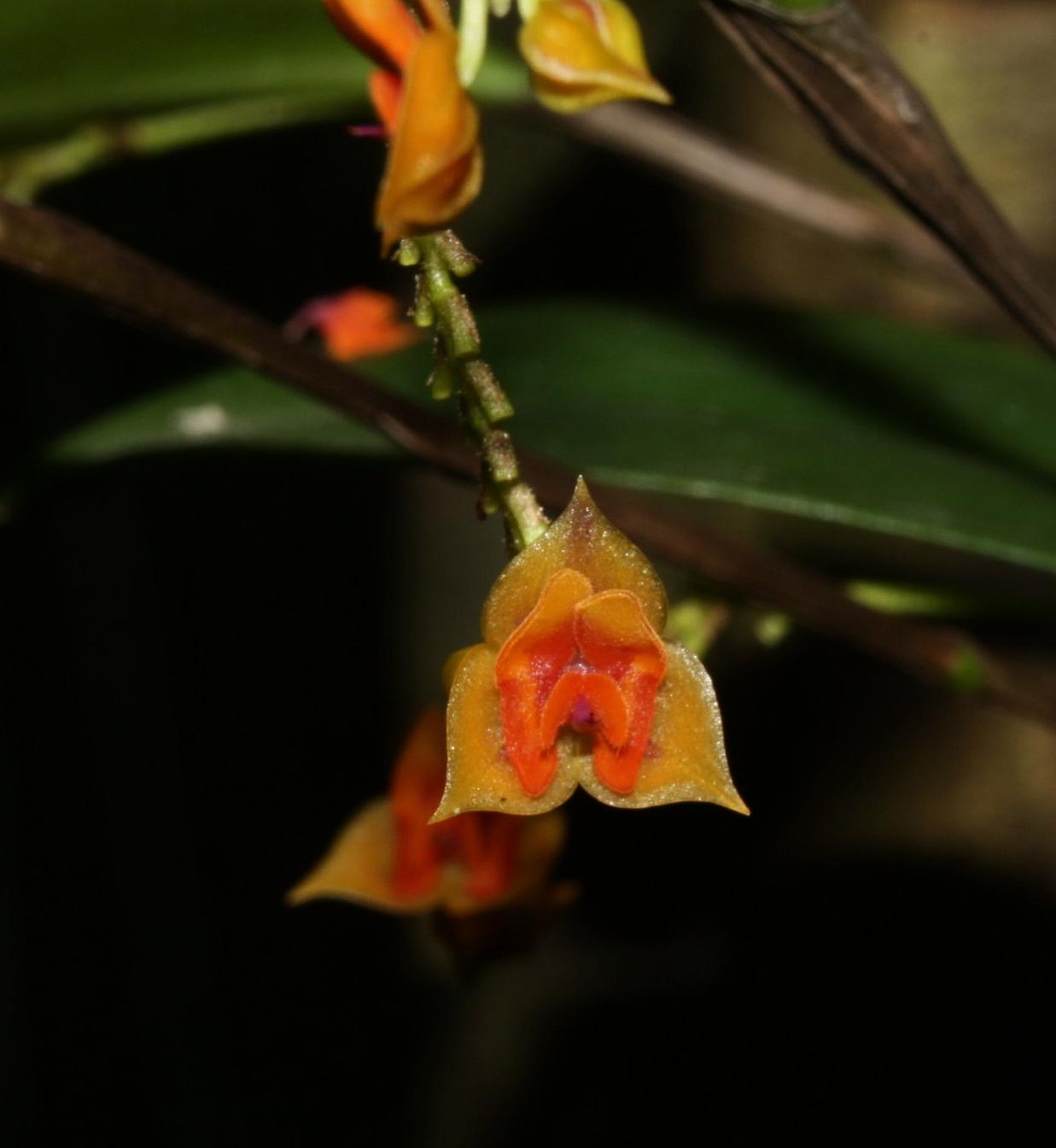 "Lepanthes sp. "" Panama"" January 2010"
