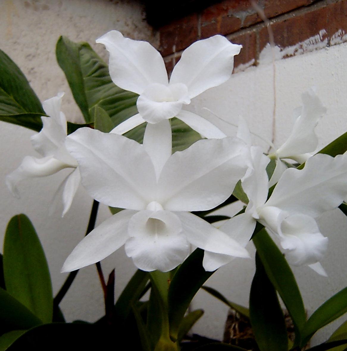Guarianthe skinneri f. alba  September 2002