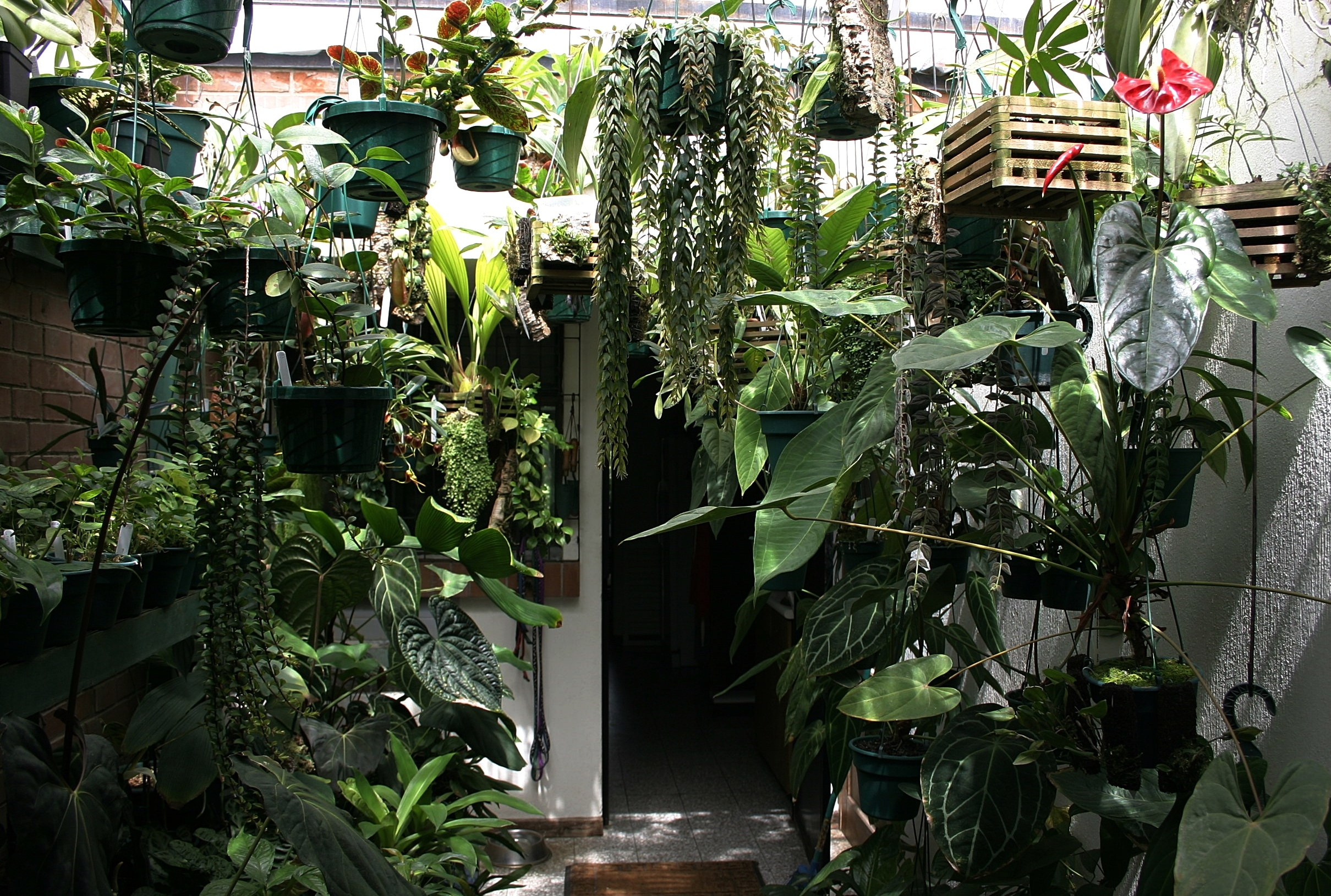 Indoor roofed atrium with mixed anthuriums, columneas and rainforest zamias - June 2006