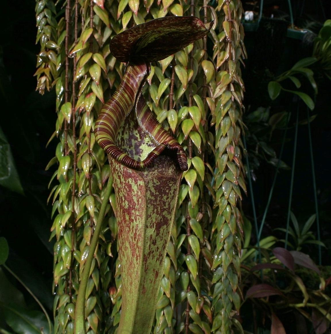 Nepenthes rafflesiana  'Kondo' upper pitchers and  Columnea arguta  August 2007