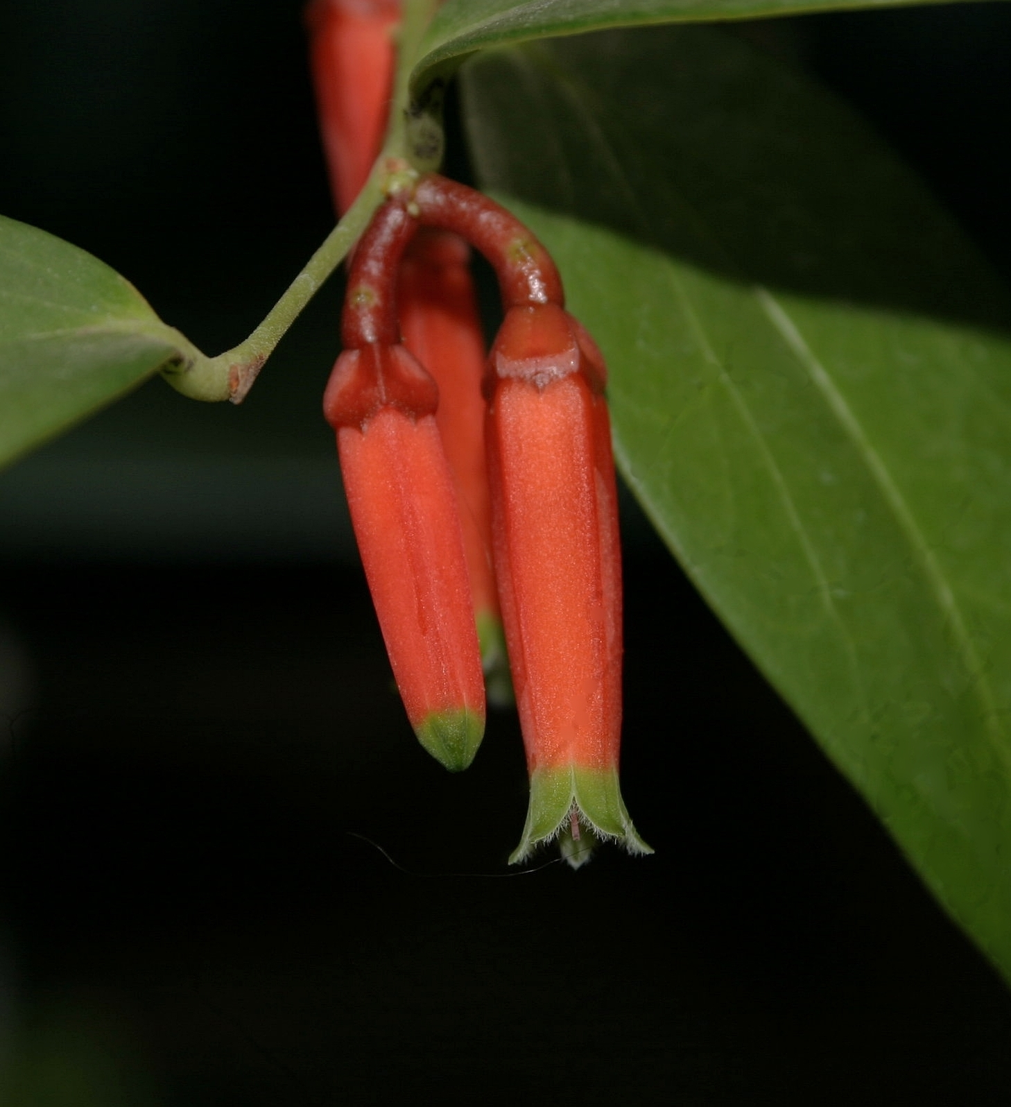 Macleania epiphytica  March 2008
