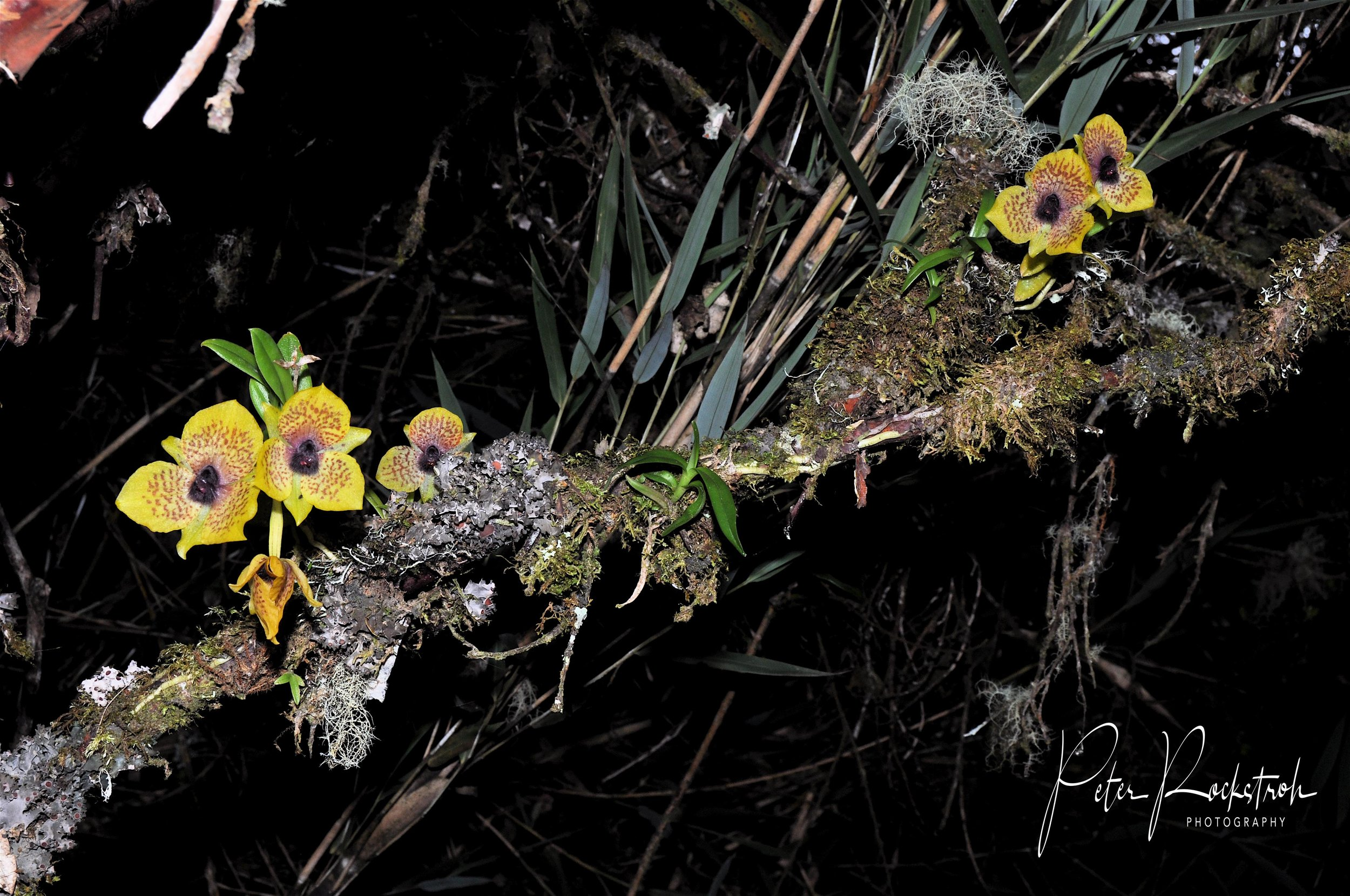 The showy-flowered miniature orchid and twig epiphyte,  Telipogon yolandae