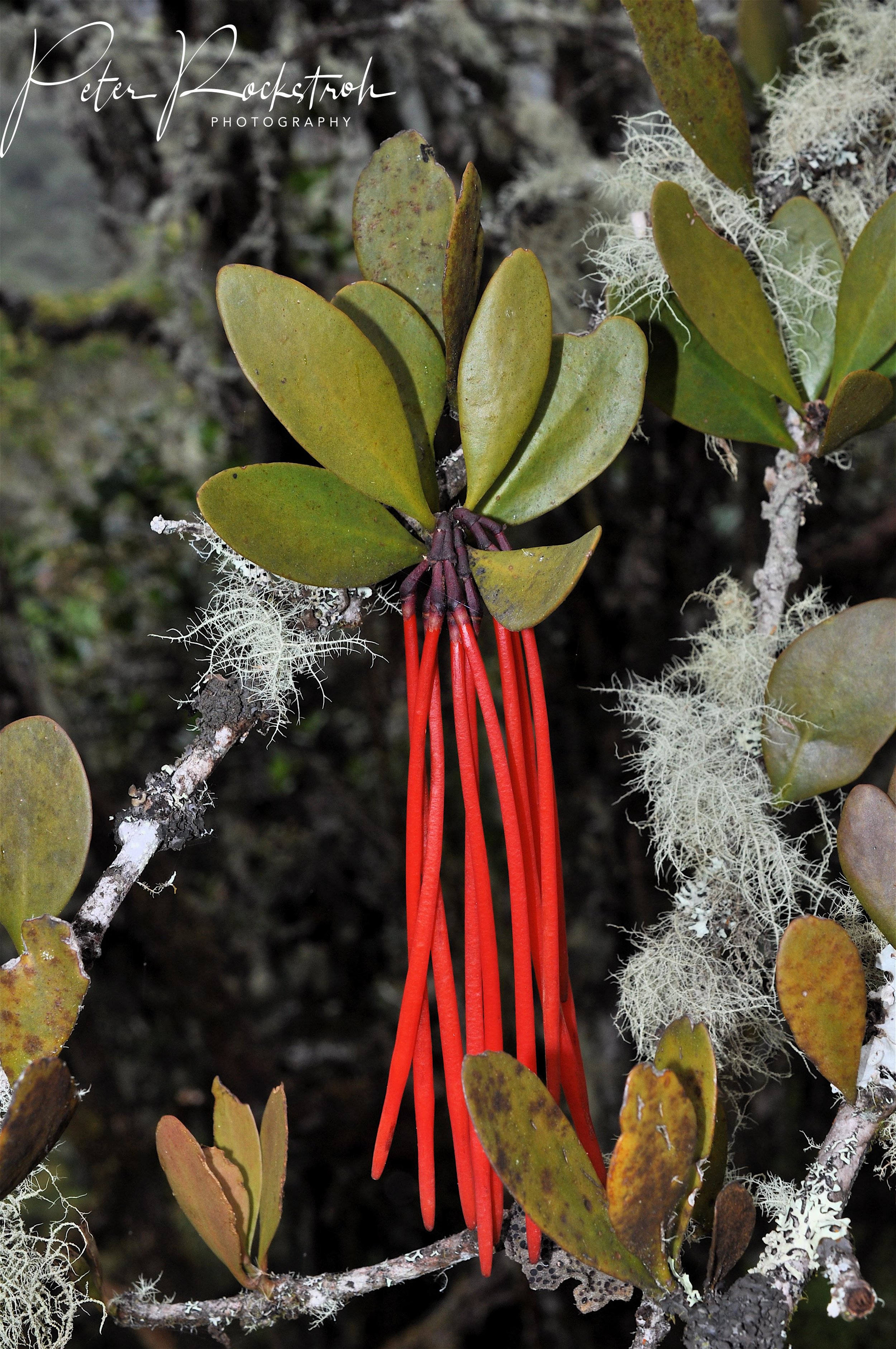 The spectacular Andean showy-flowered parasitic mistletoe,  Aetanthus mutisii,  in bud