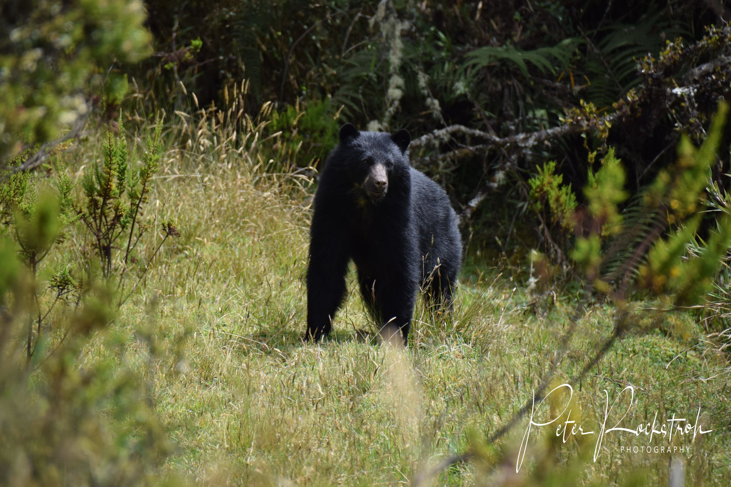 An adult Andean/spectacled bear ( Tremarctos ornatus ) - out without his spectacles on this particular morning - wandering the edge of elfin forest
