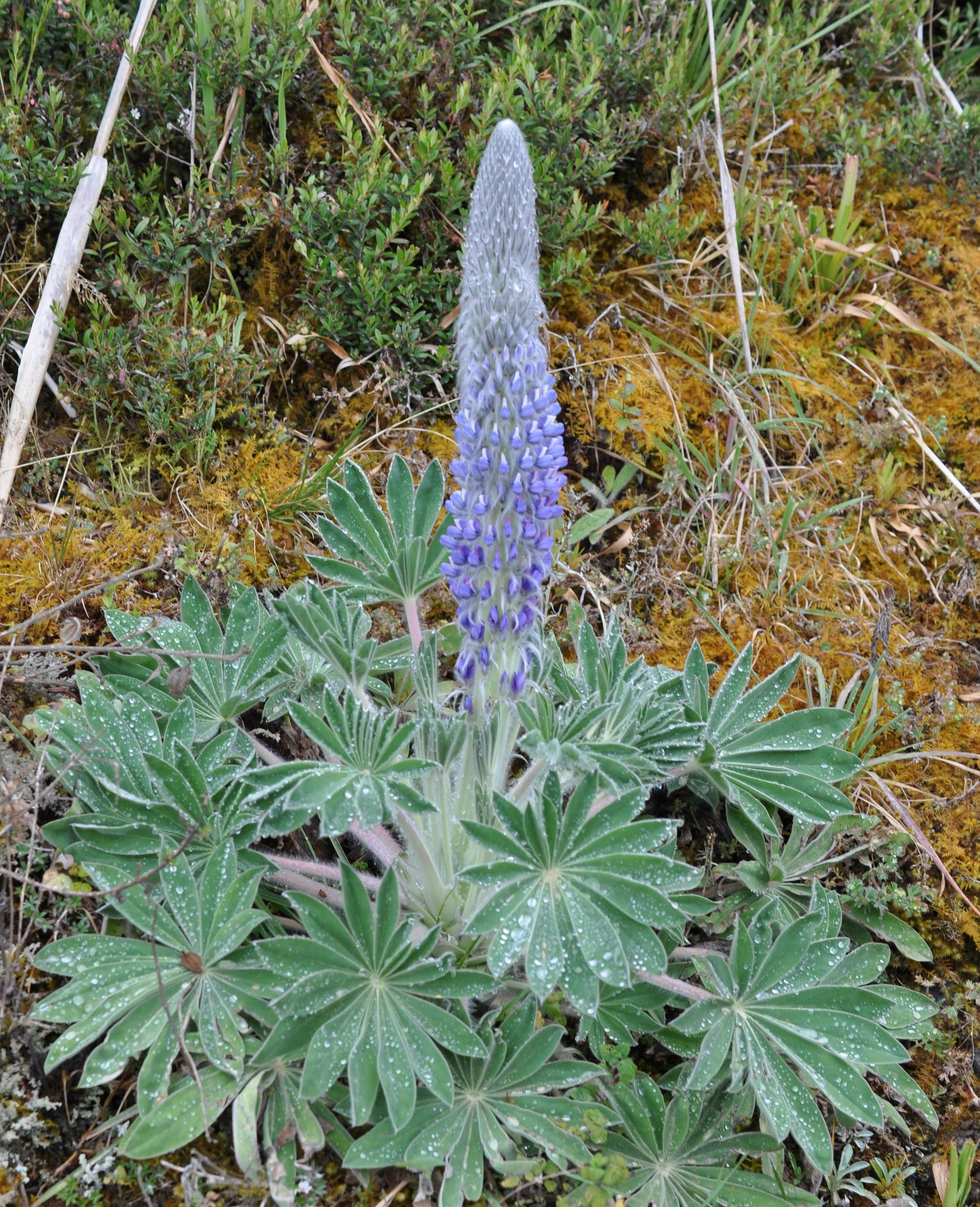 High Andean lupine ( Lupinus sp.)