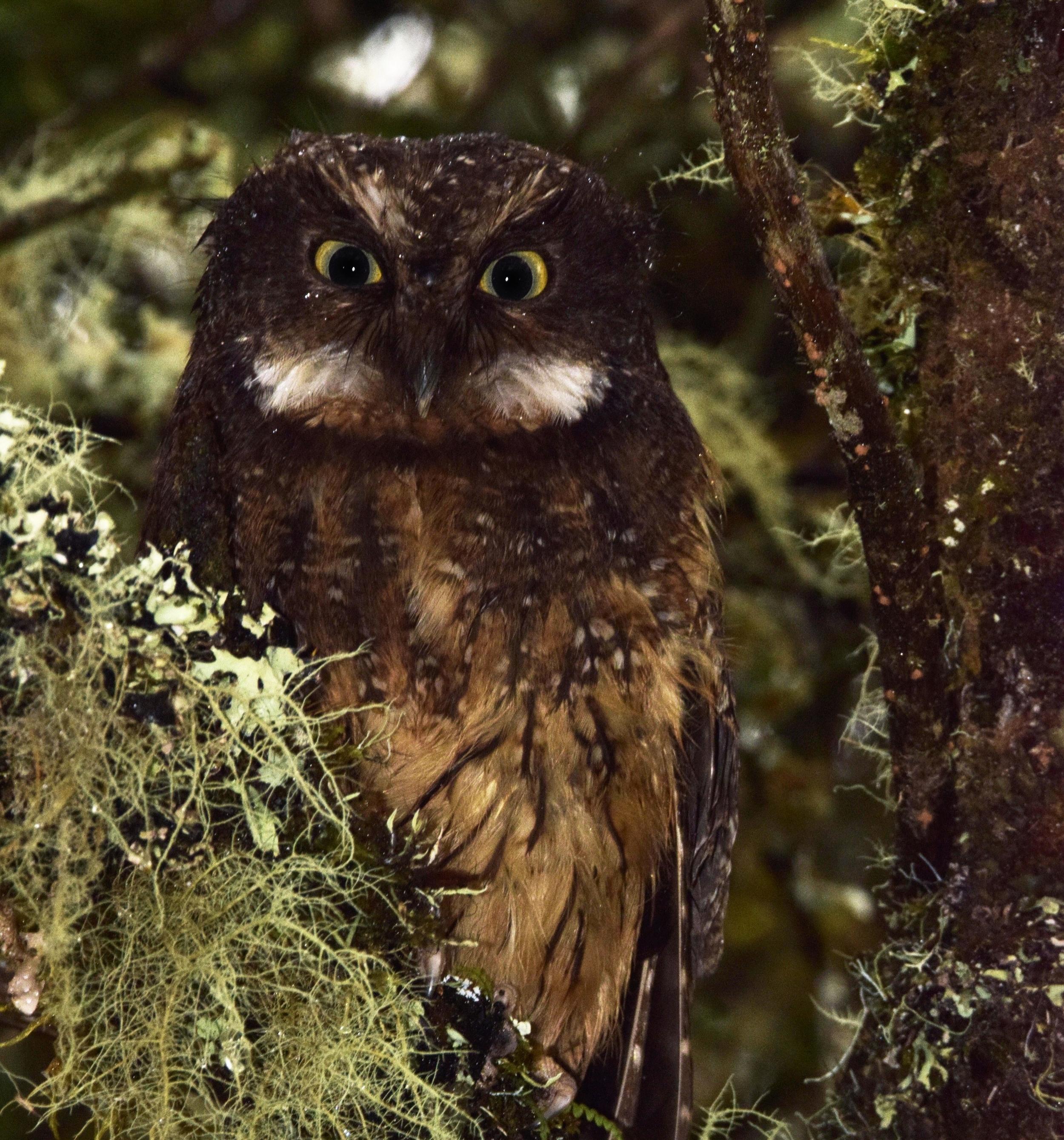 White-throated scops owl,  Megascops albigularis