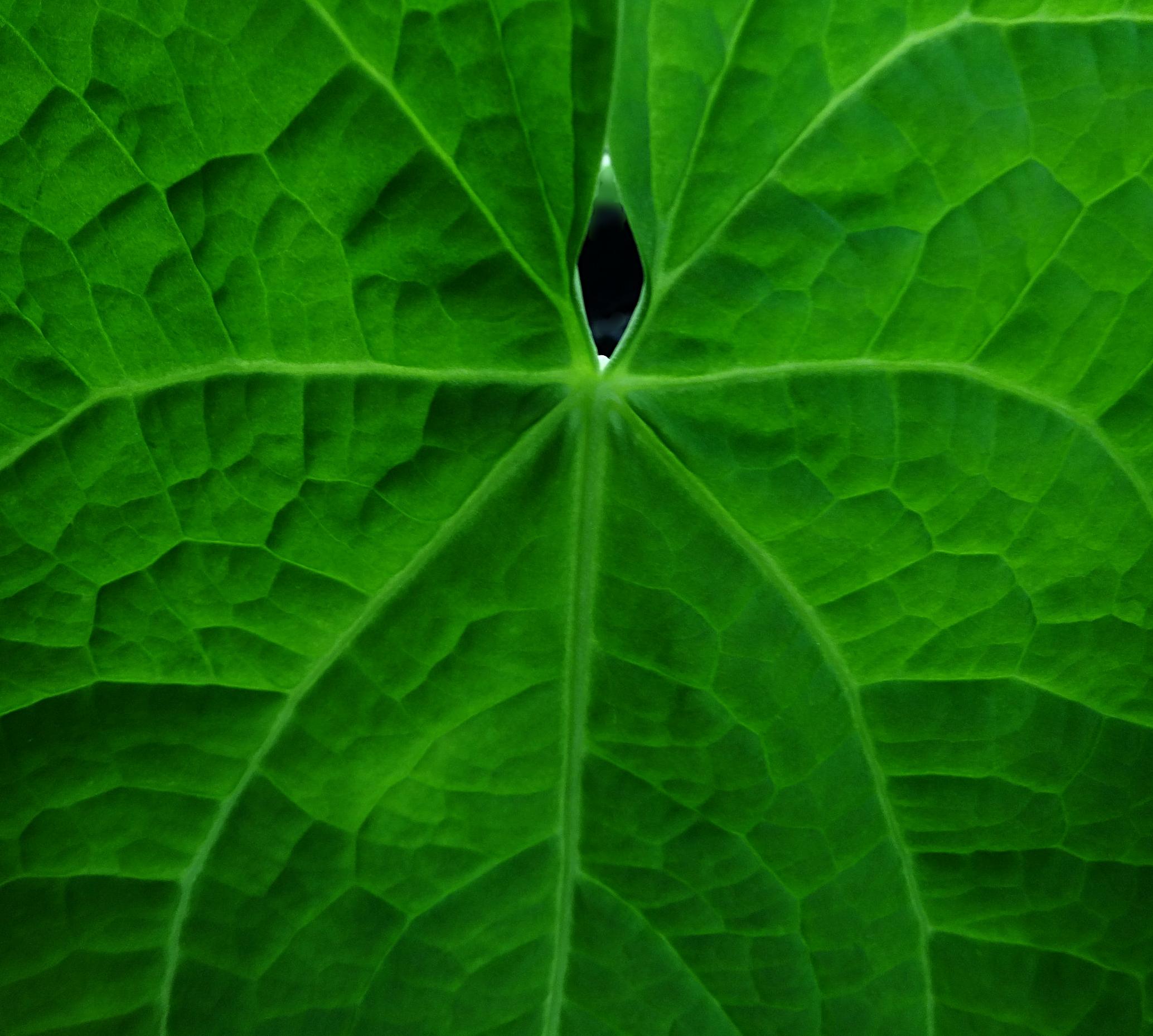 Anthurium rotolantei sp. ined.