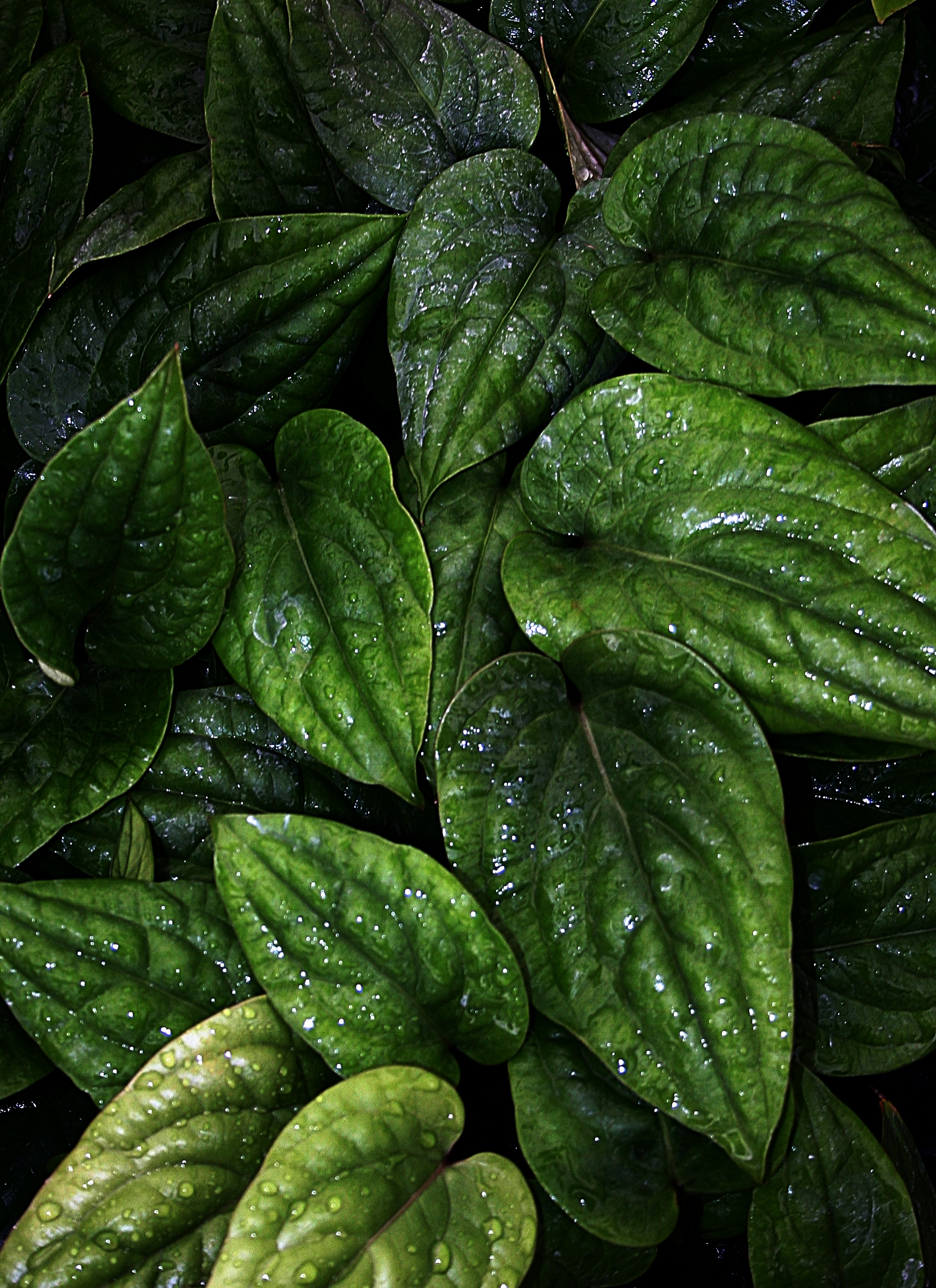 Anthurium radicans,  large seedlings in community tray