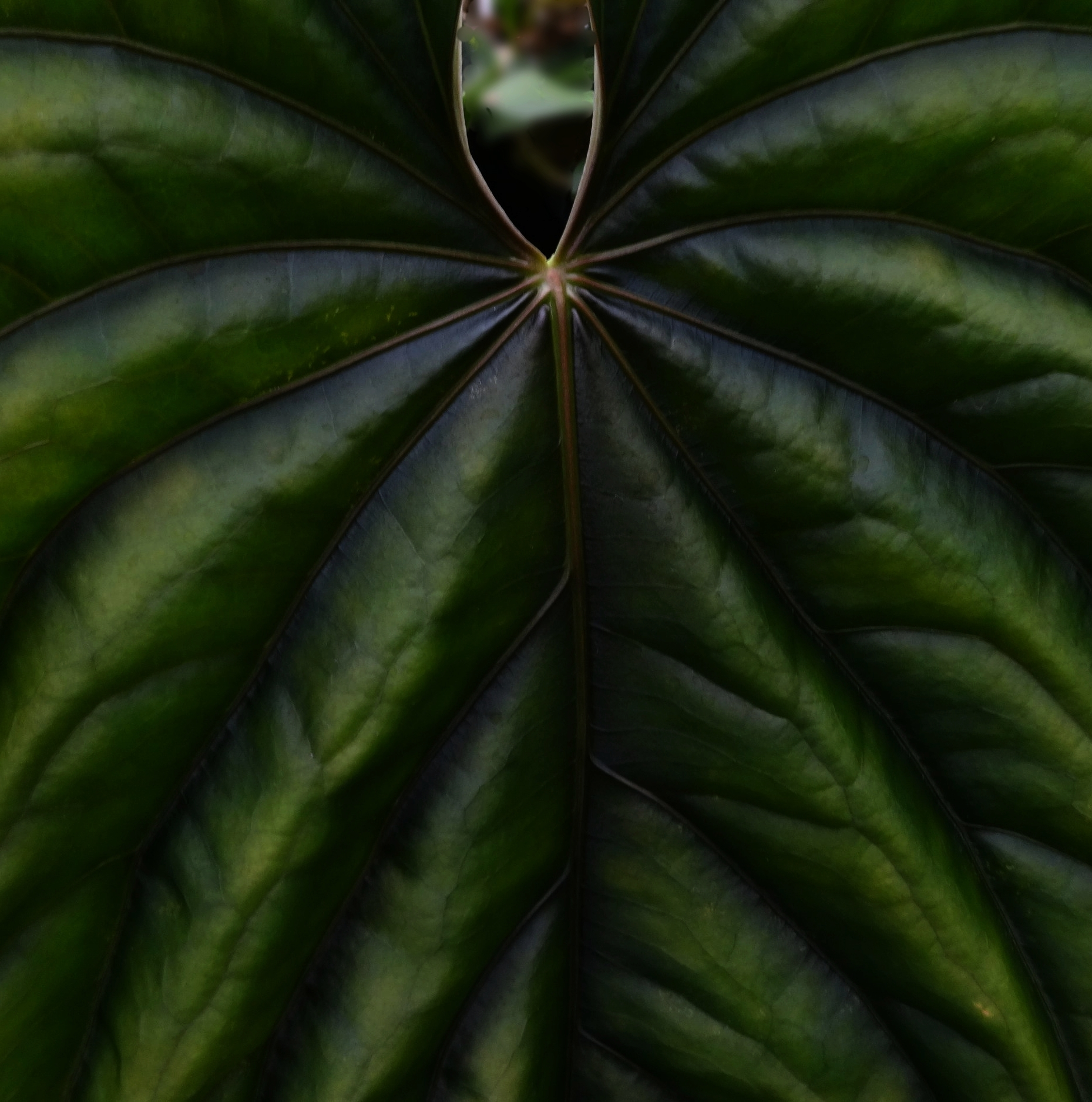 Anthurium debile new leaf.JPG