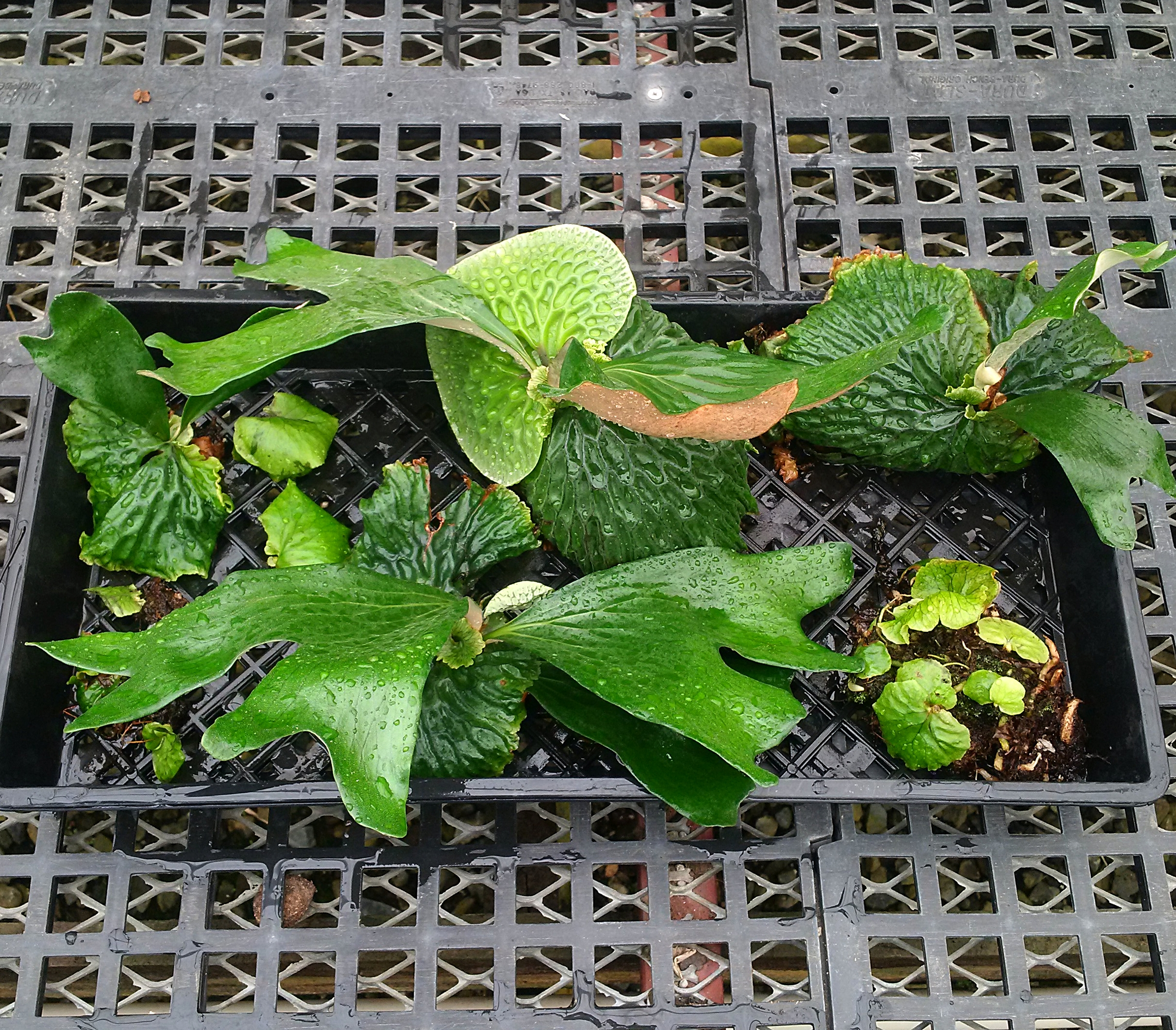 Several mature Madagascan staghorn ferns and assorted pups removed from the display mount shown and discussed above. Note the dense rhizome mass on the lower right with multiple offsets sprouting from this clump
